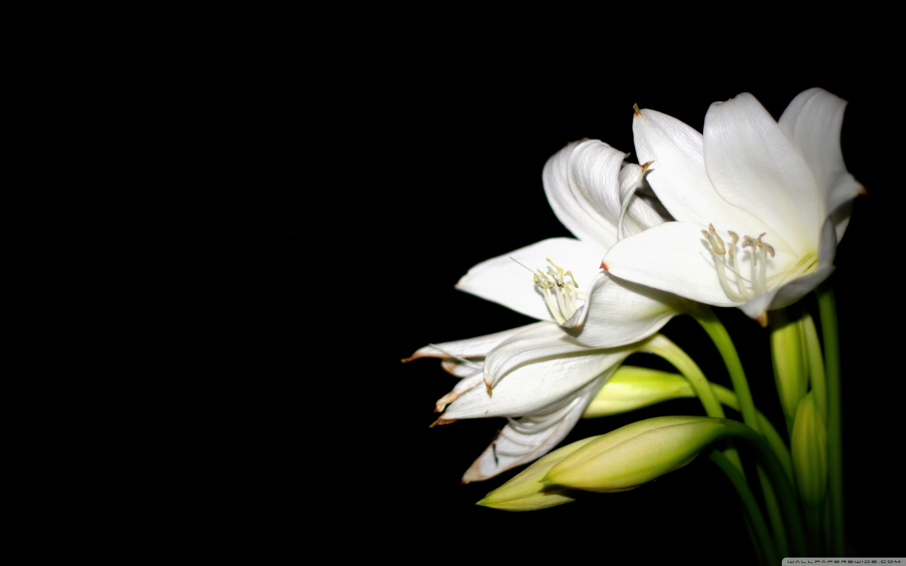 Wide 1610 Easter Lilies Background