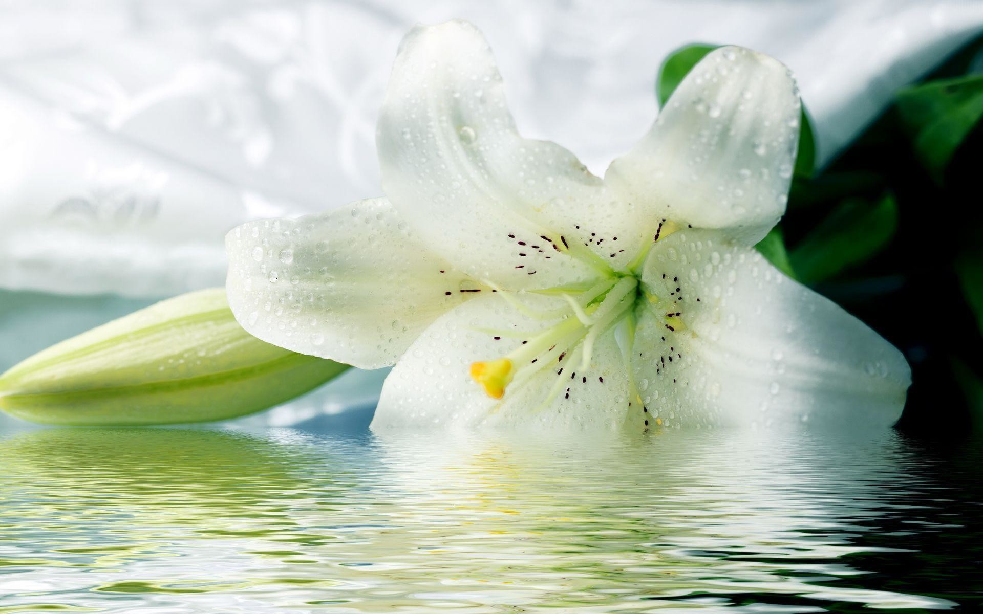 Lily Wallpapers – Wallpaper Cave