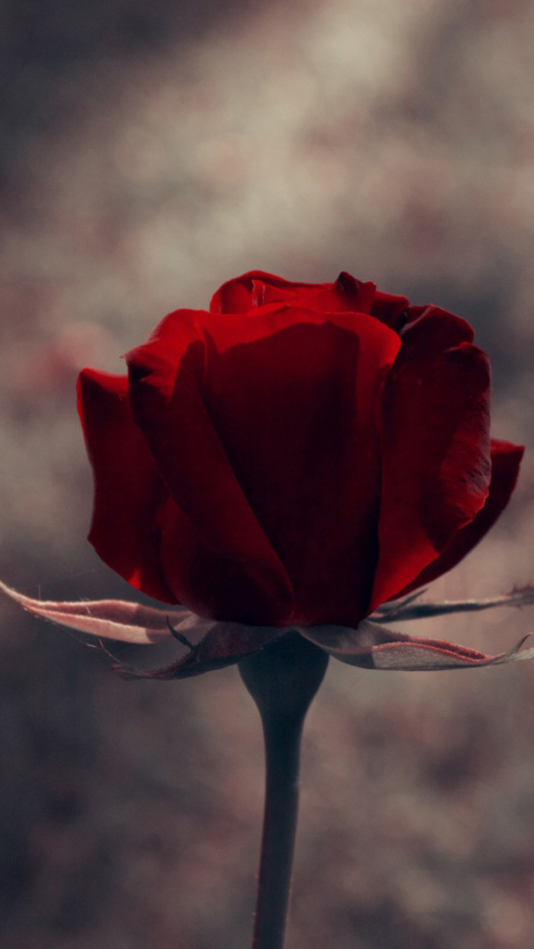 Vintage One Red Rose Macro iPhone 6 wallpaper