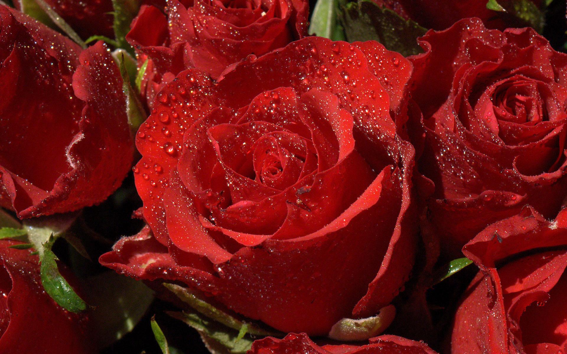 red rose waterdrops