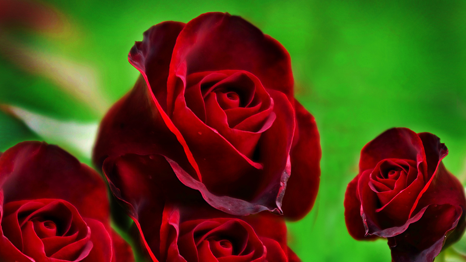 … wallpaper-of-red-roses-hd-free-wallpaper …