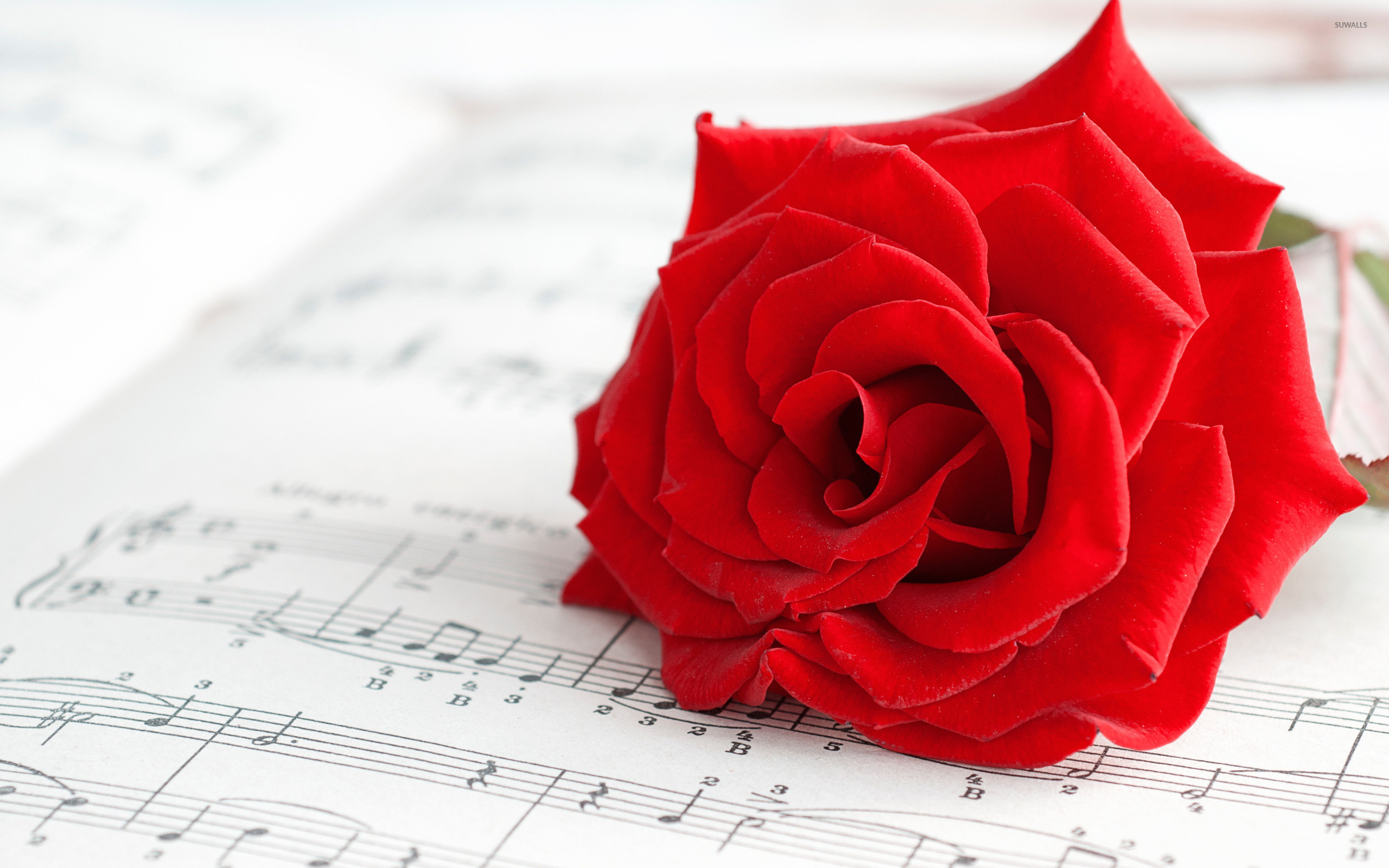 Pure red rose wallpaper