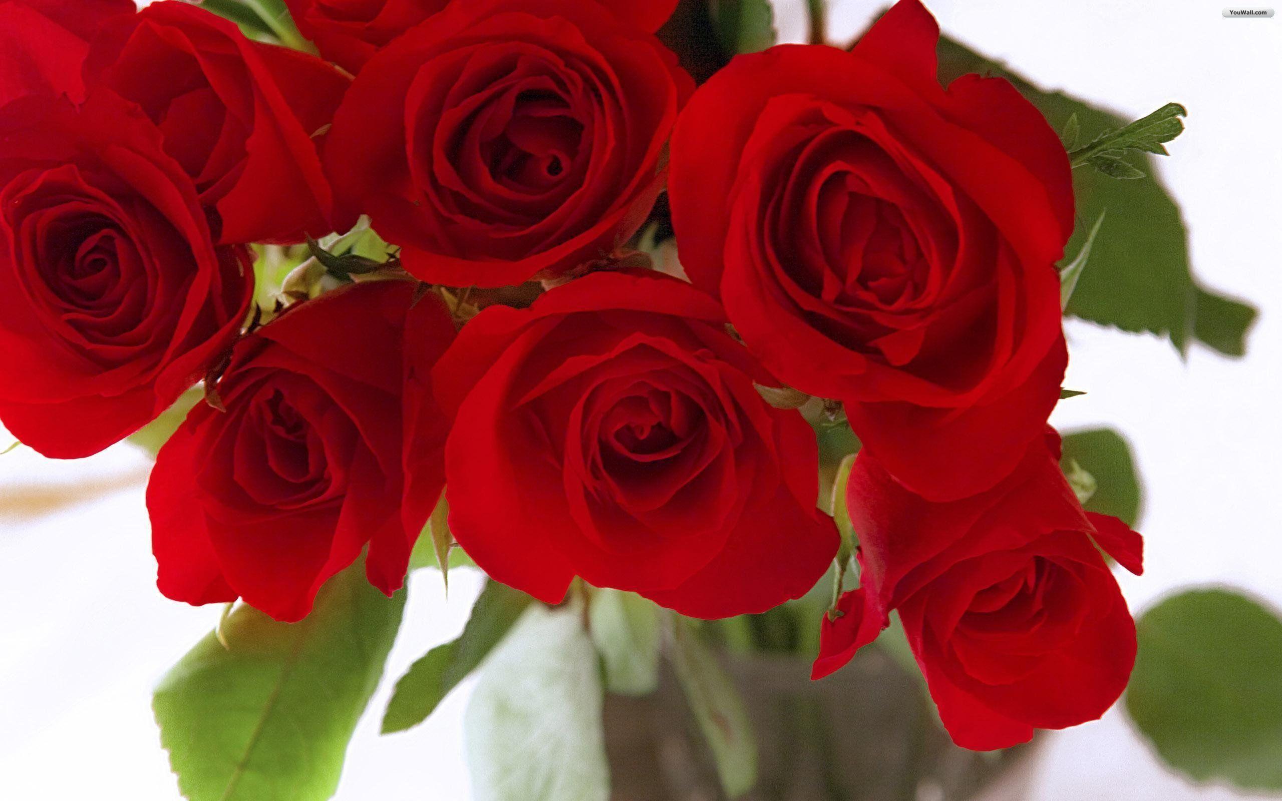 Wallpapers For > Red Rose Wallpaper For Desktop