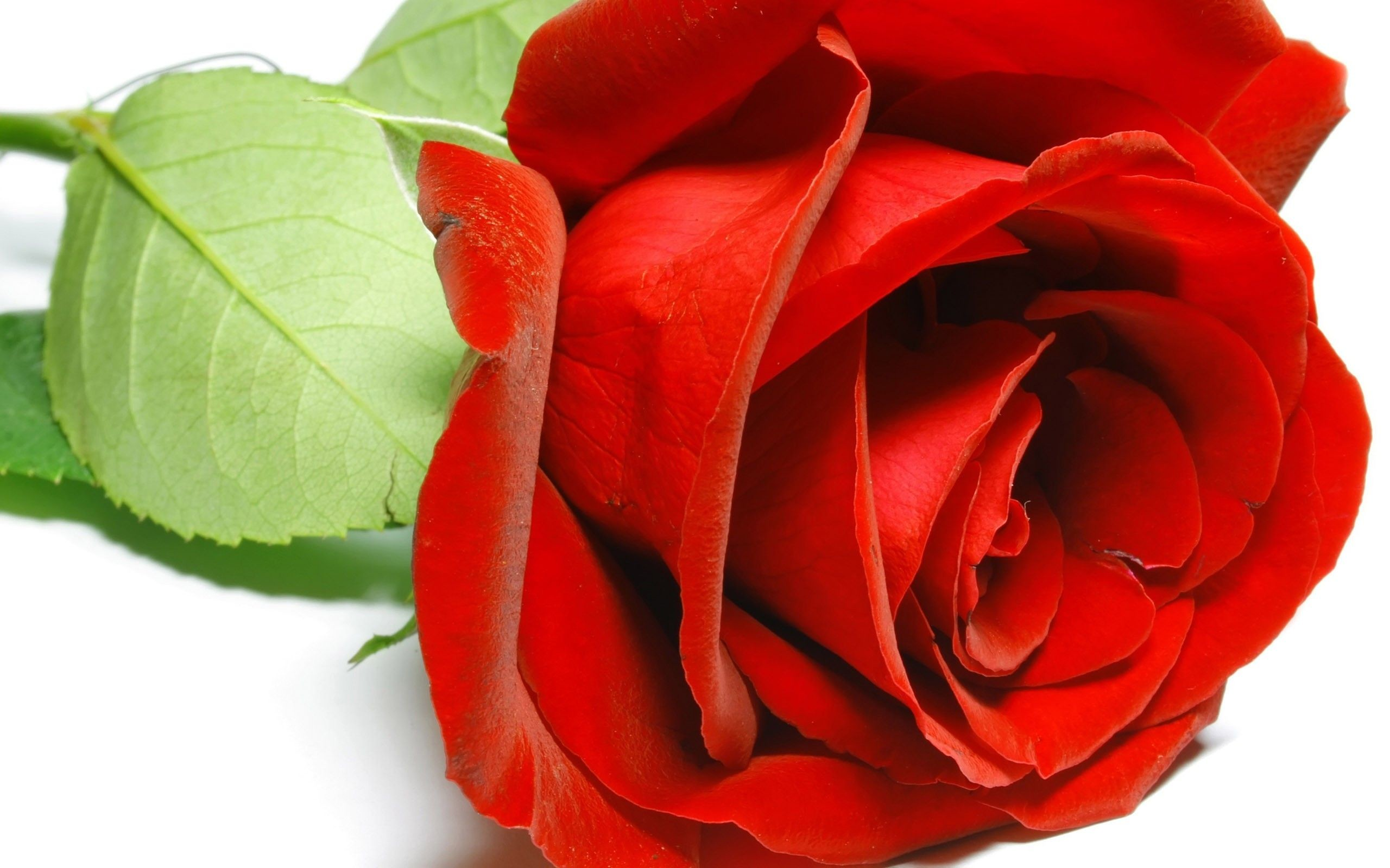 Single Red Rose Wallpapers – Wallpaper Cave