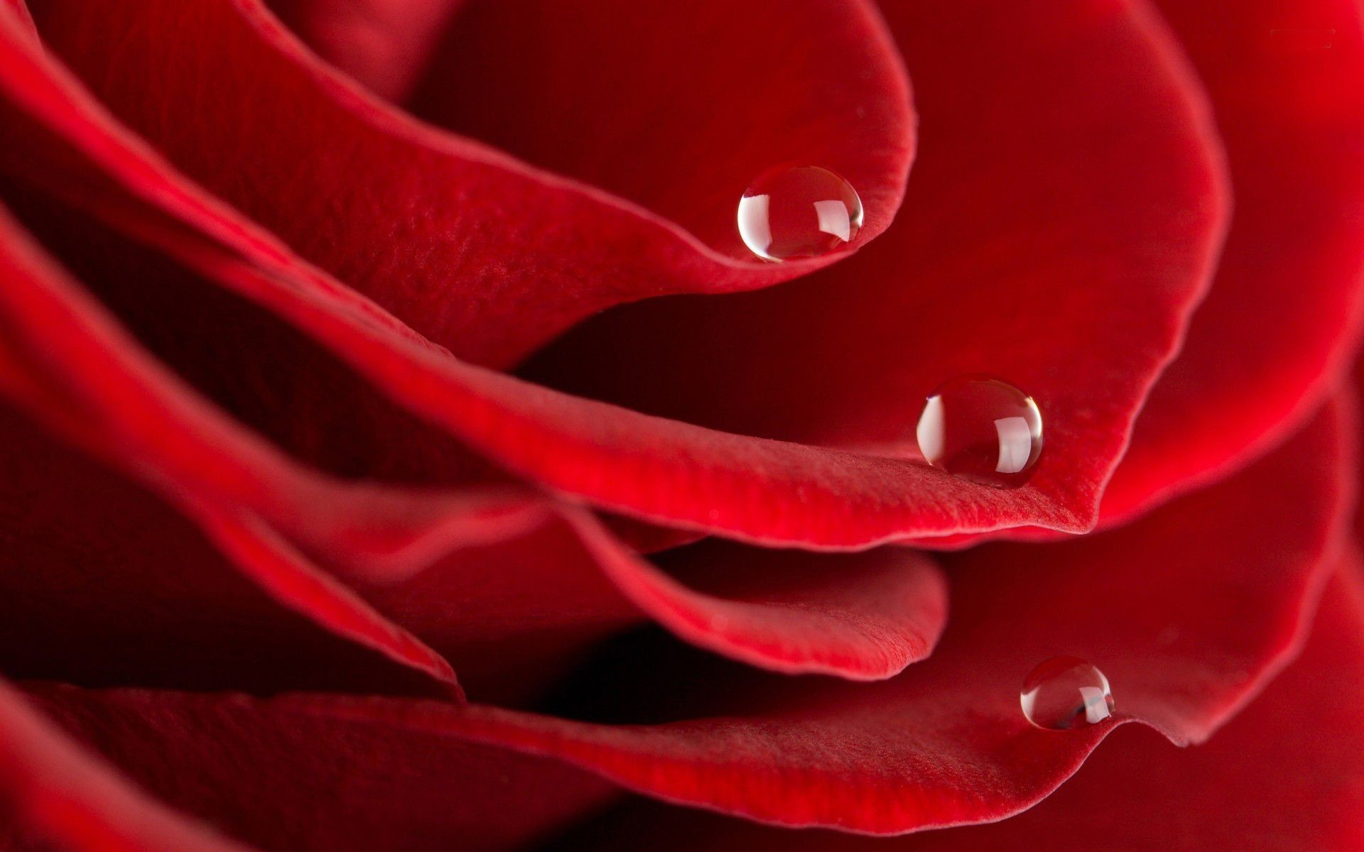 Red Rose With water drop wide screen wallpaper