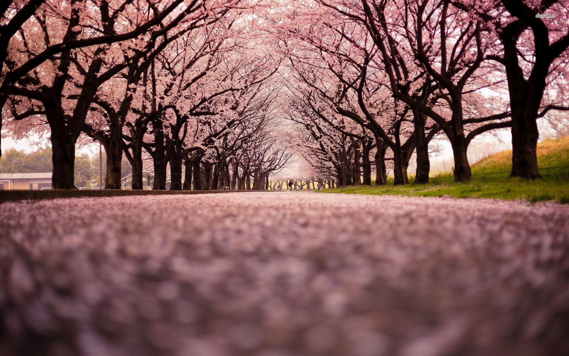 Row of cherry trees Nature HD desktop wallpaper, Tree wallpaper, Cherry  wallpaper, Blossom wallpaper – Nature no.