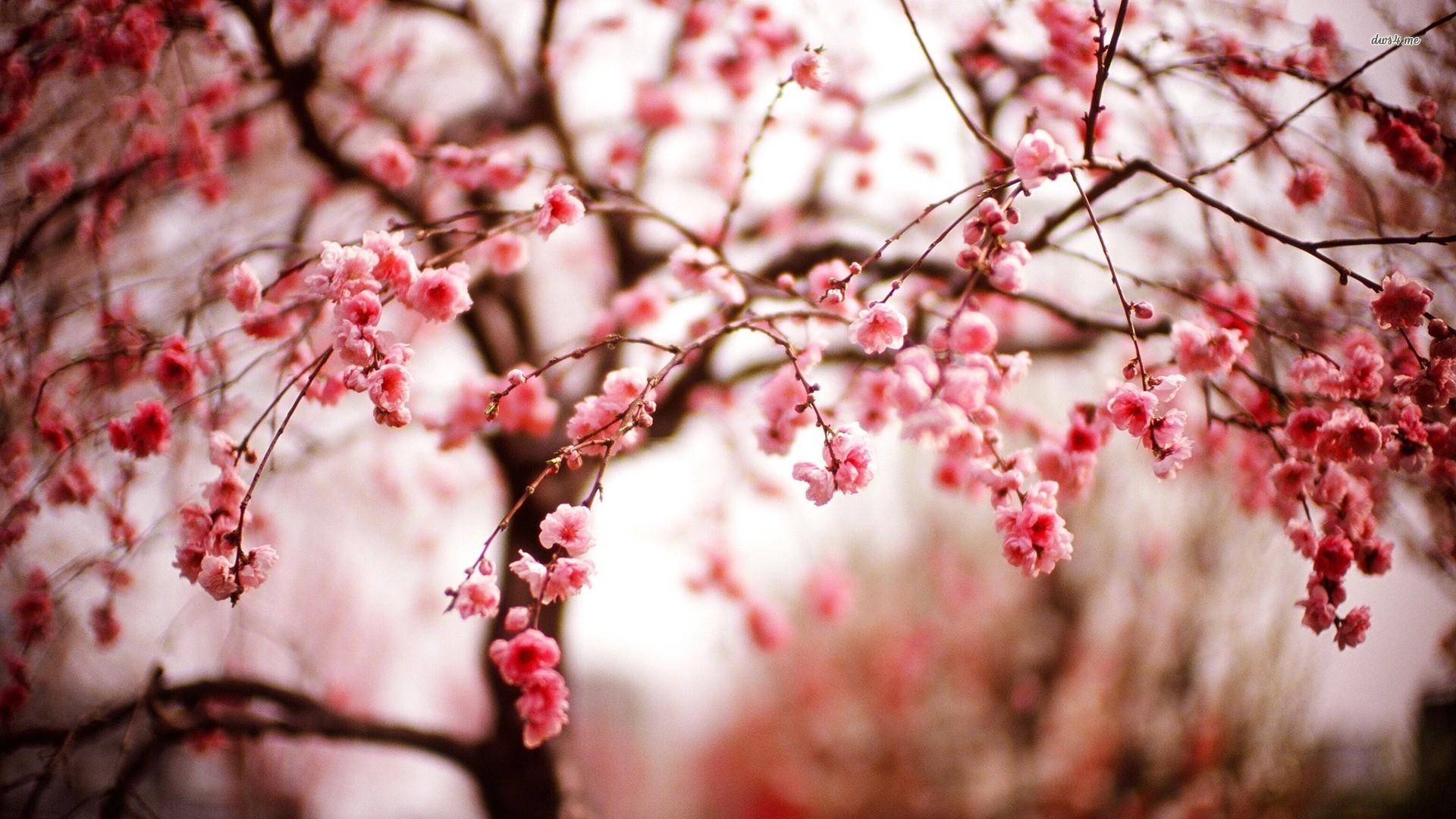 11645) Cherry Blossom Tree Wallpaper Attachment – WalOps.com