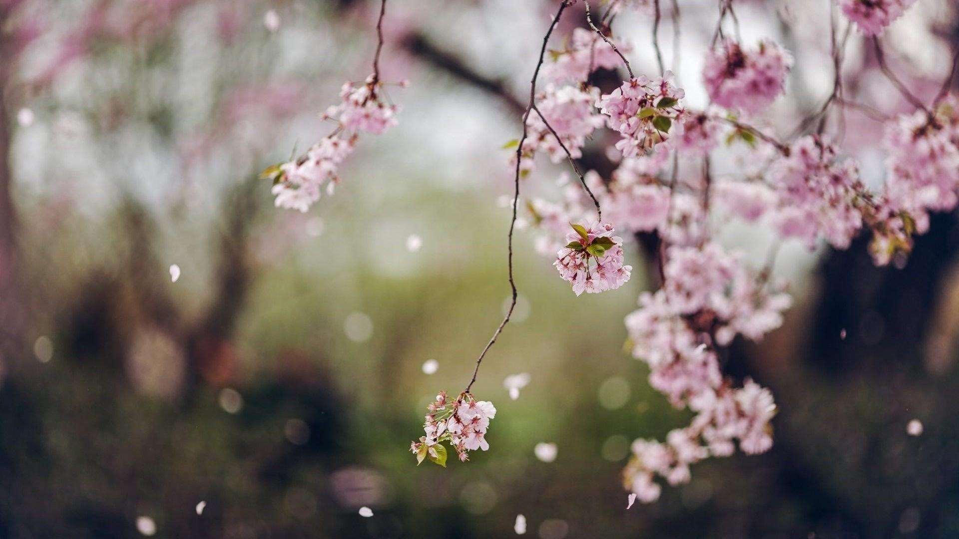 Blossom Tree Cherry Flower Wallpaper