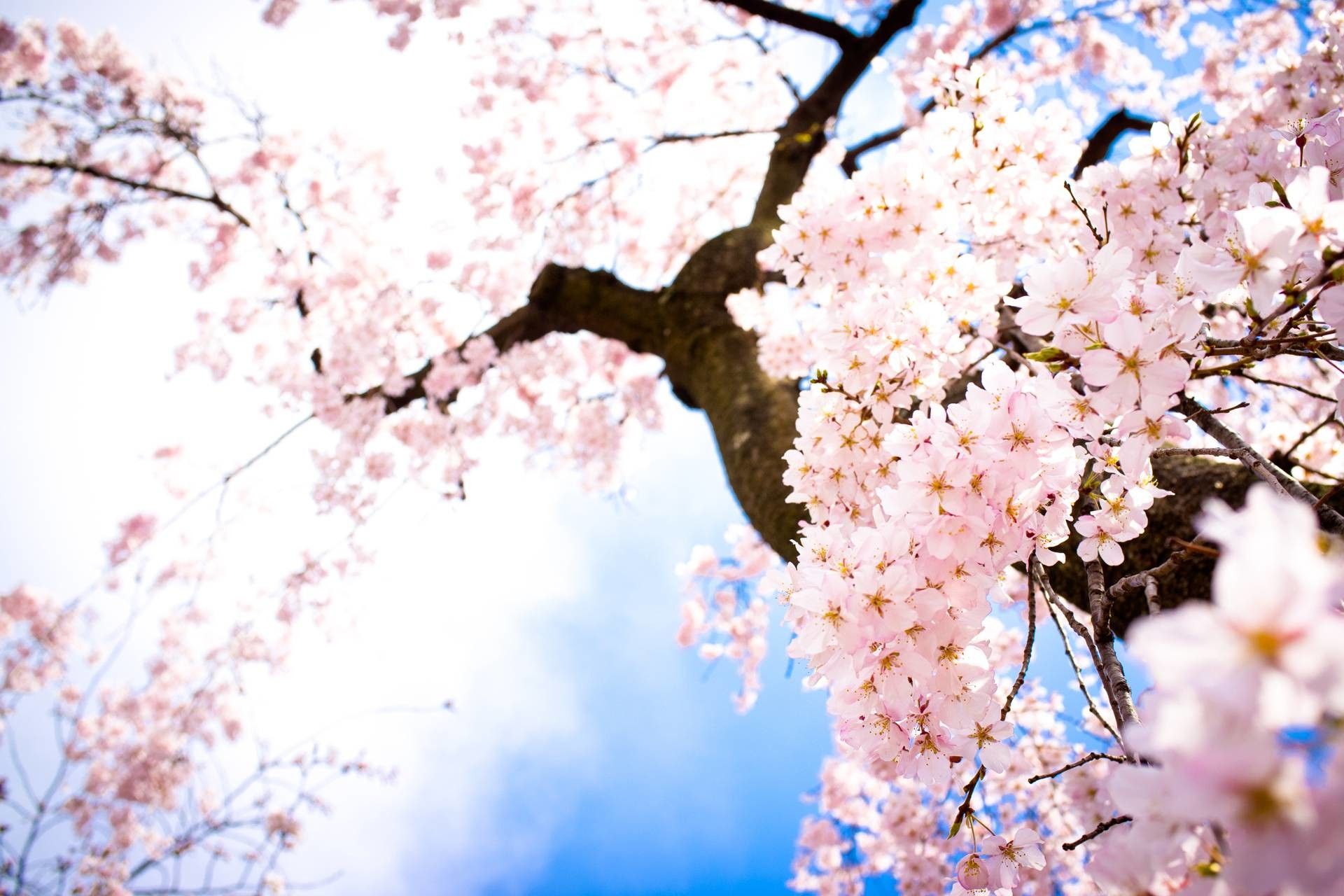 Cherry Blossom Tree, Flowers Wallpaper, hd phone wallpapers .