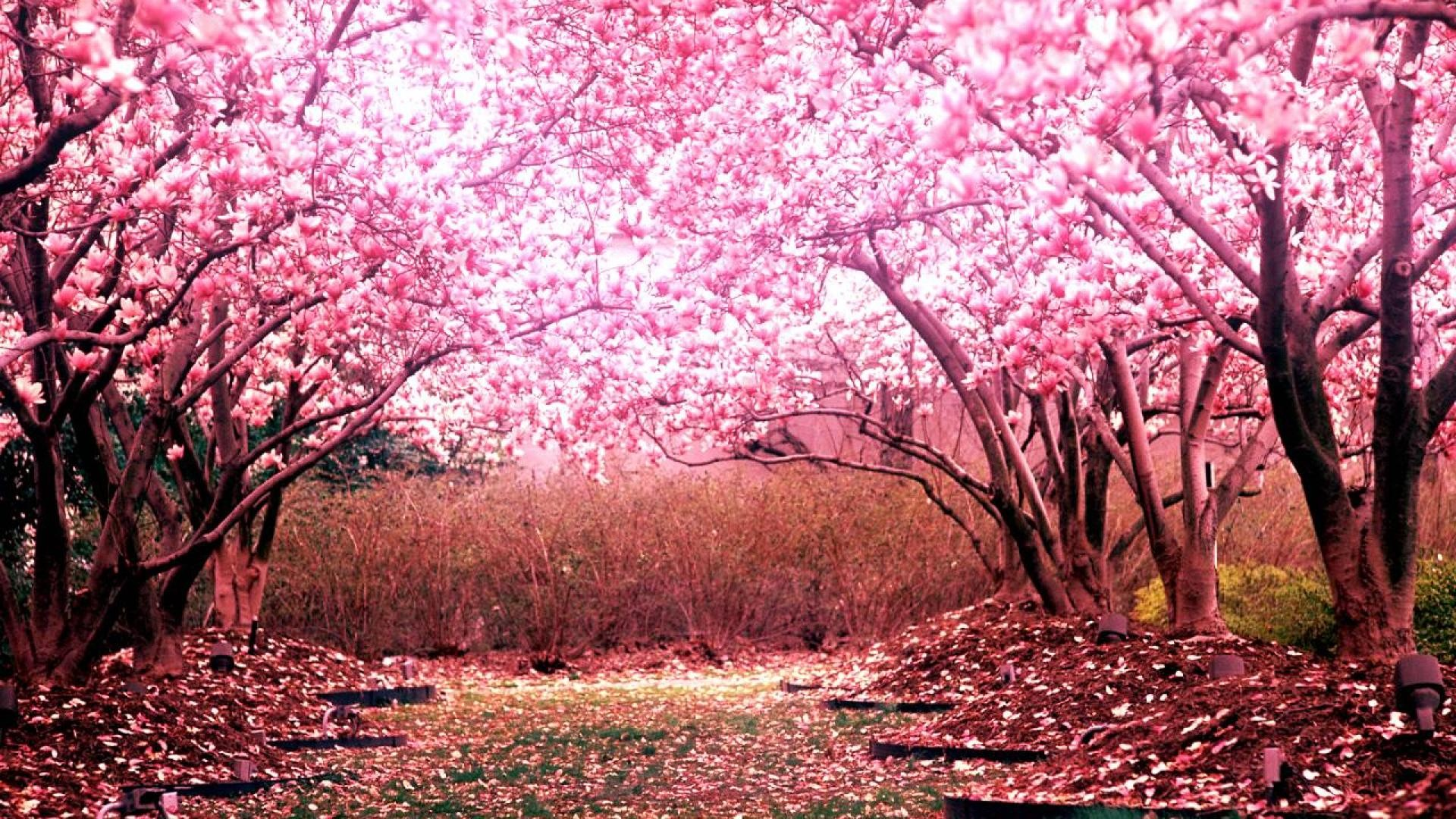 Cherry Blossom Tree Desktop Background HD 1920×1080