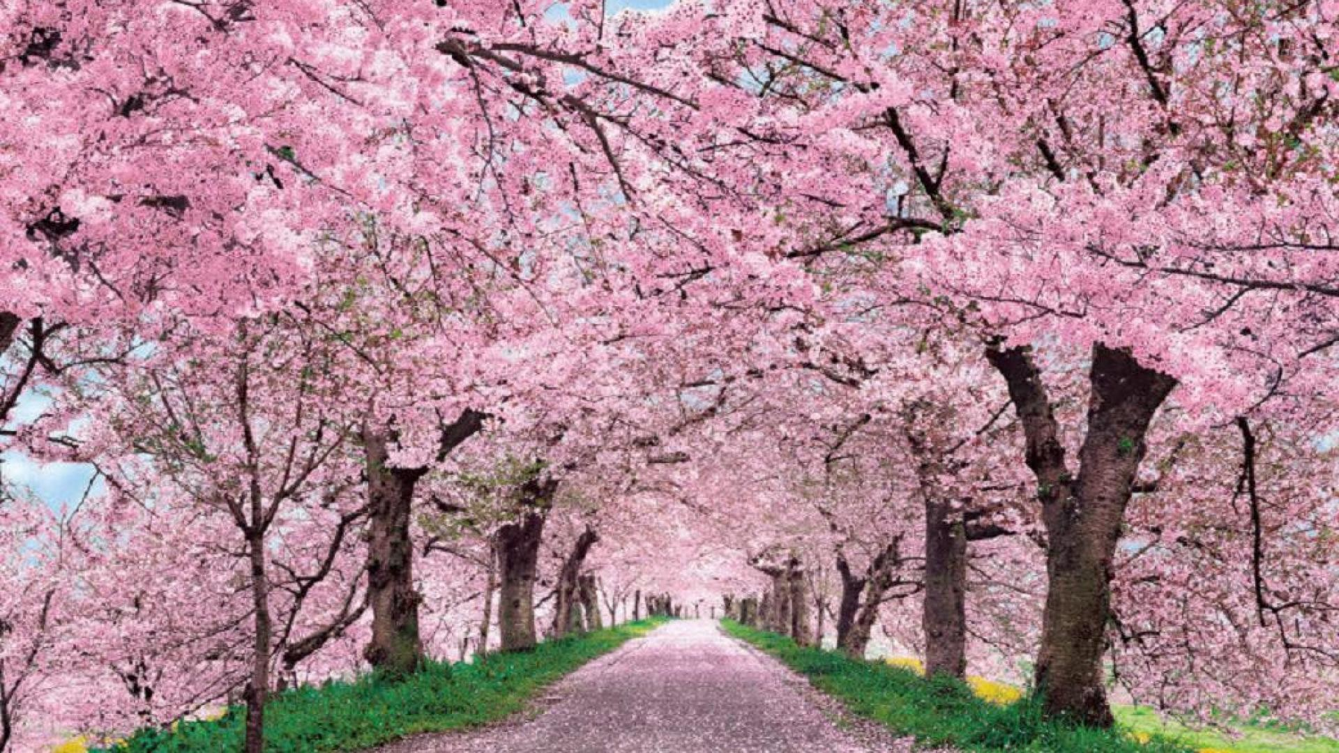 Cherry Blossom Cool Wallpaper Backgrounds