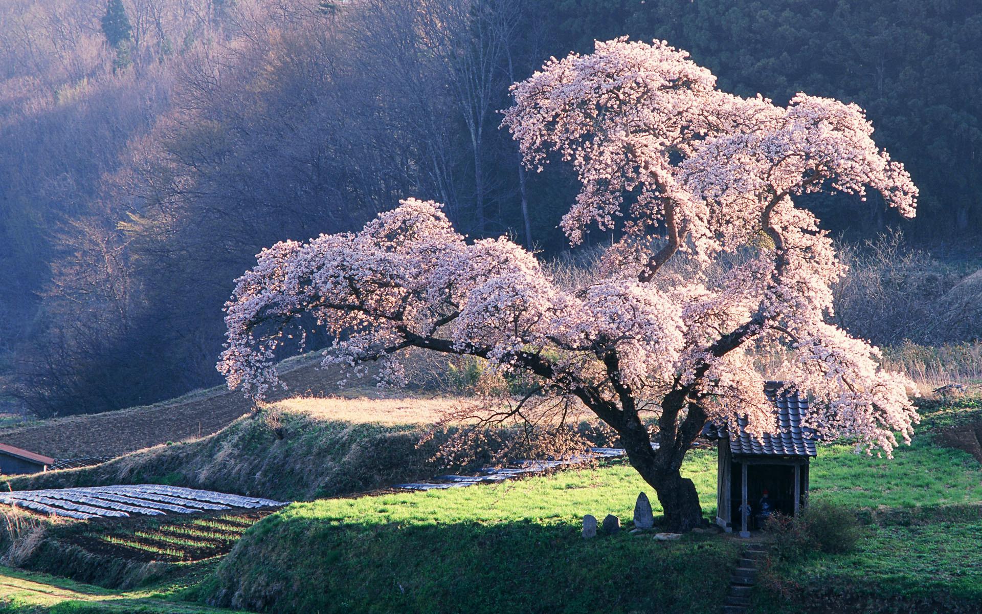 Free cherry blossom tree wallpaper background