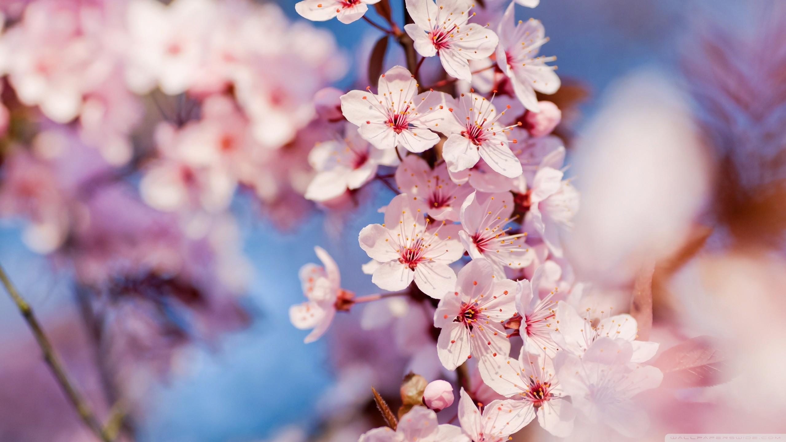 Blossom · Blossom Wallpaper
