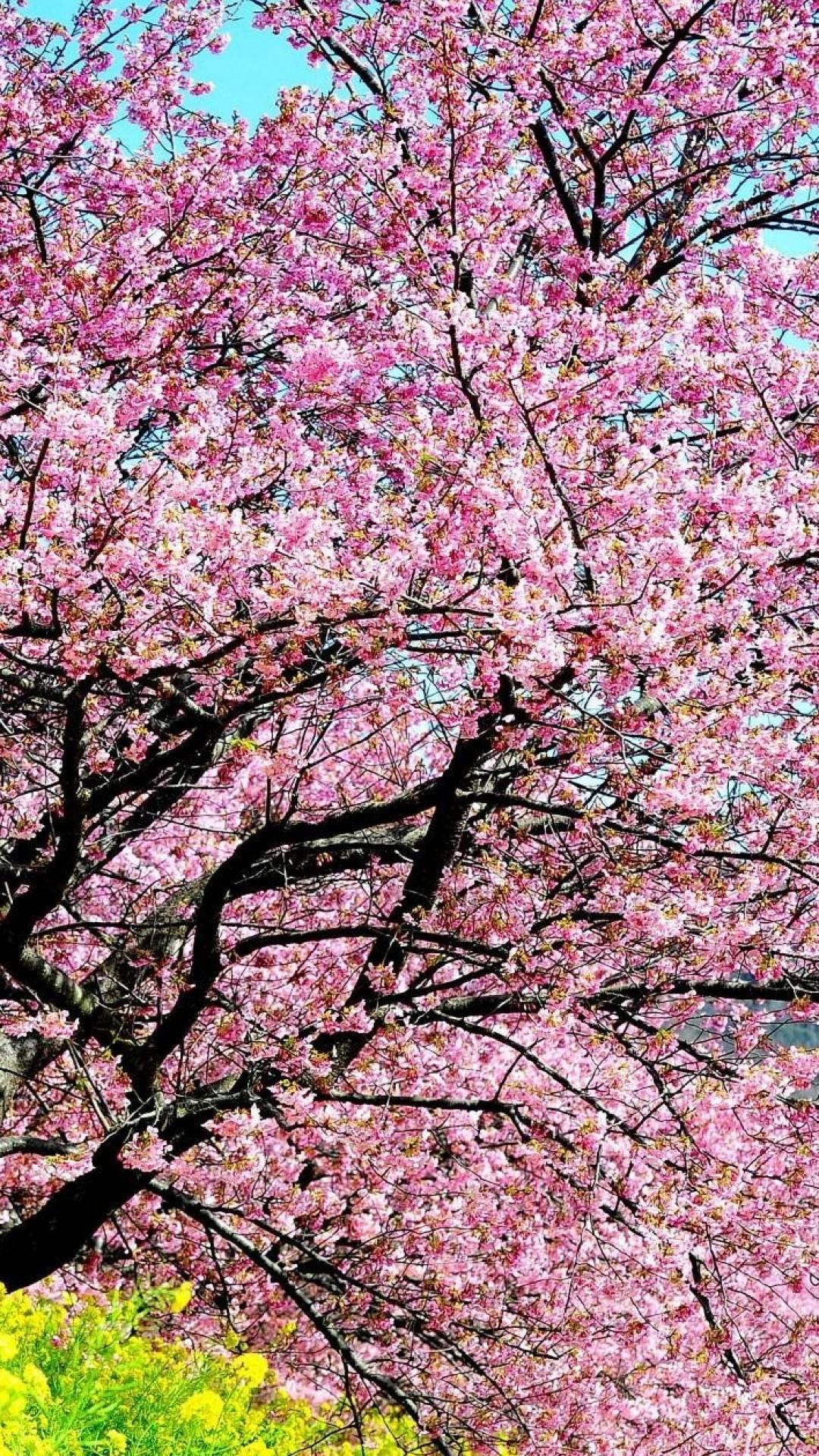 Wallpaper cherry, blossom, tree, spring, slope