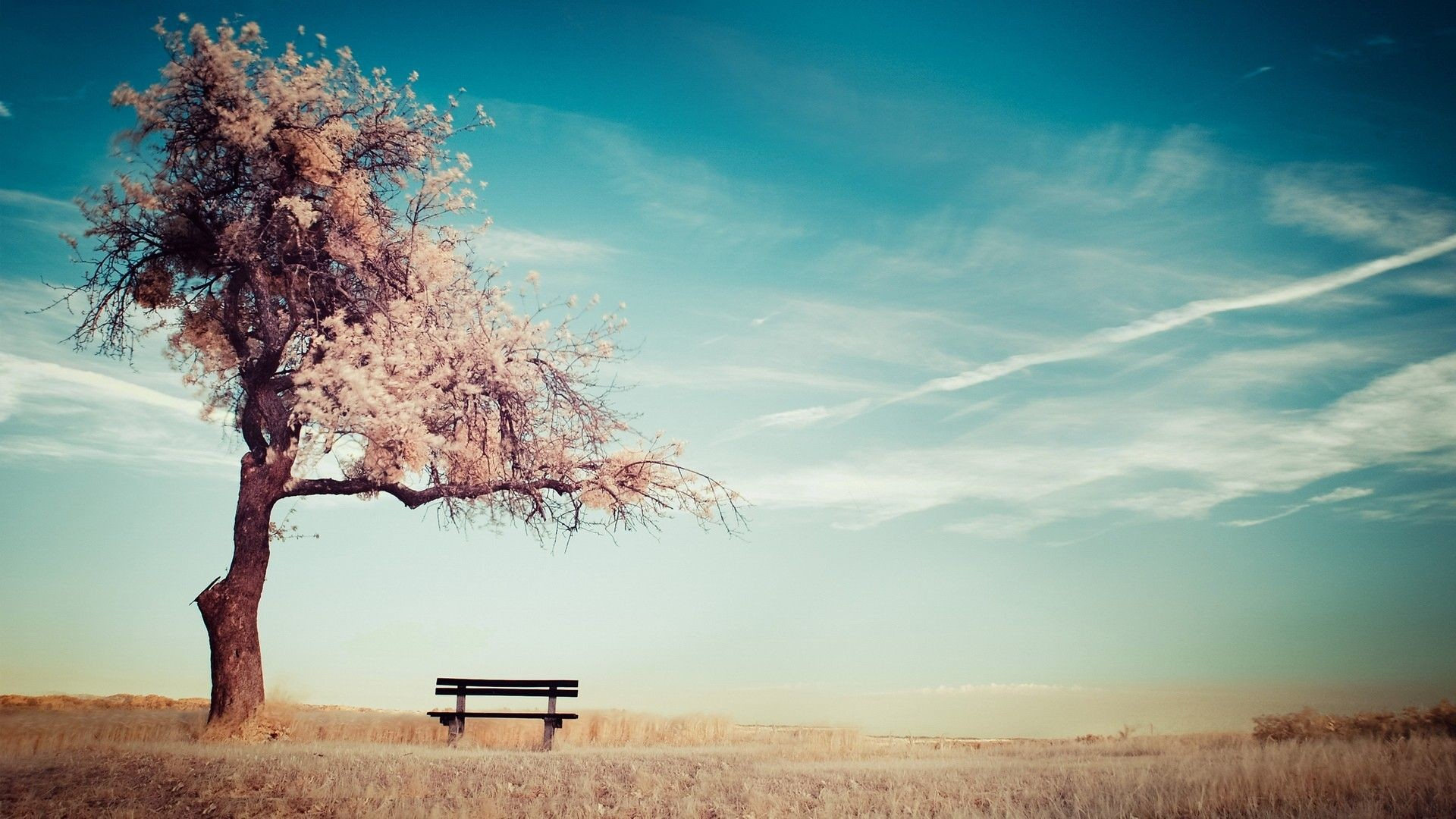 alone cherry blossom tree beside the bench wallpaper