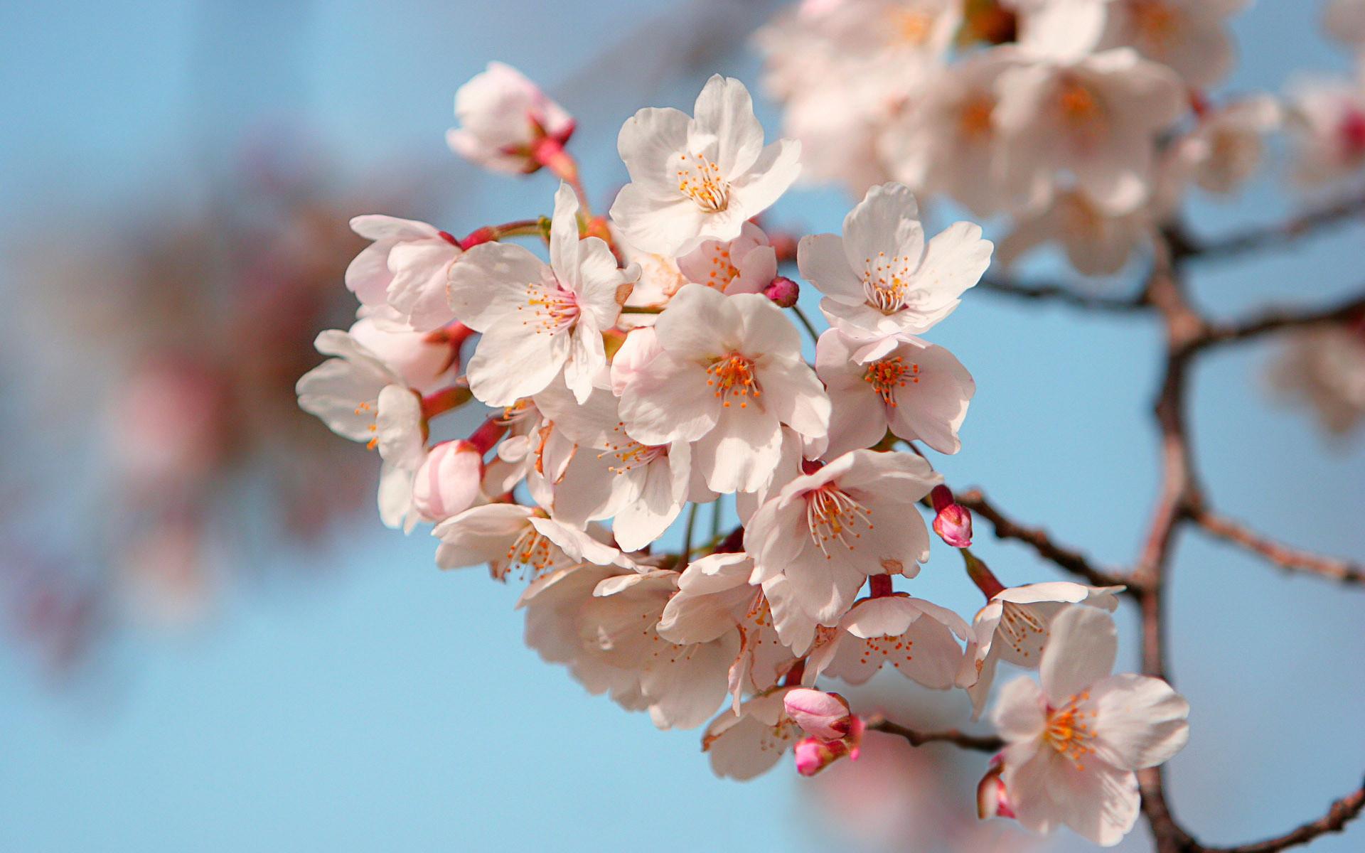 Cherry Blossom Tree Branch