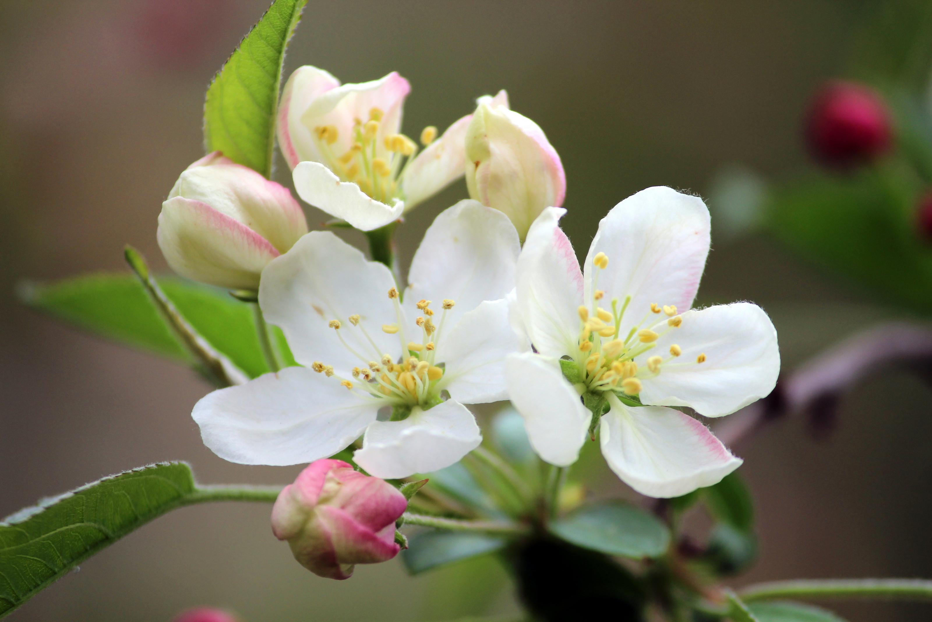 """""""April Flowers (1)"""" by Pistos – Caedes Desktop Wallpaper"""