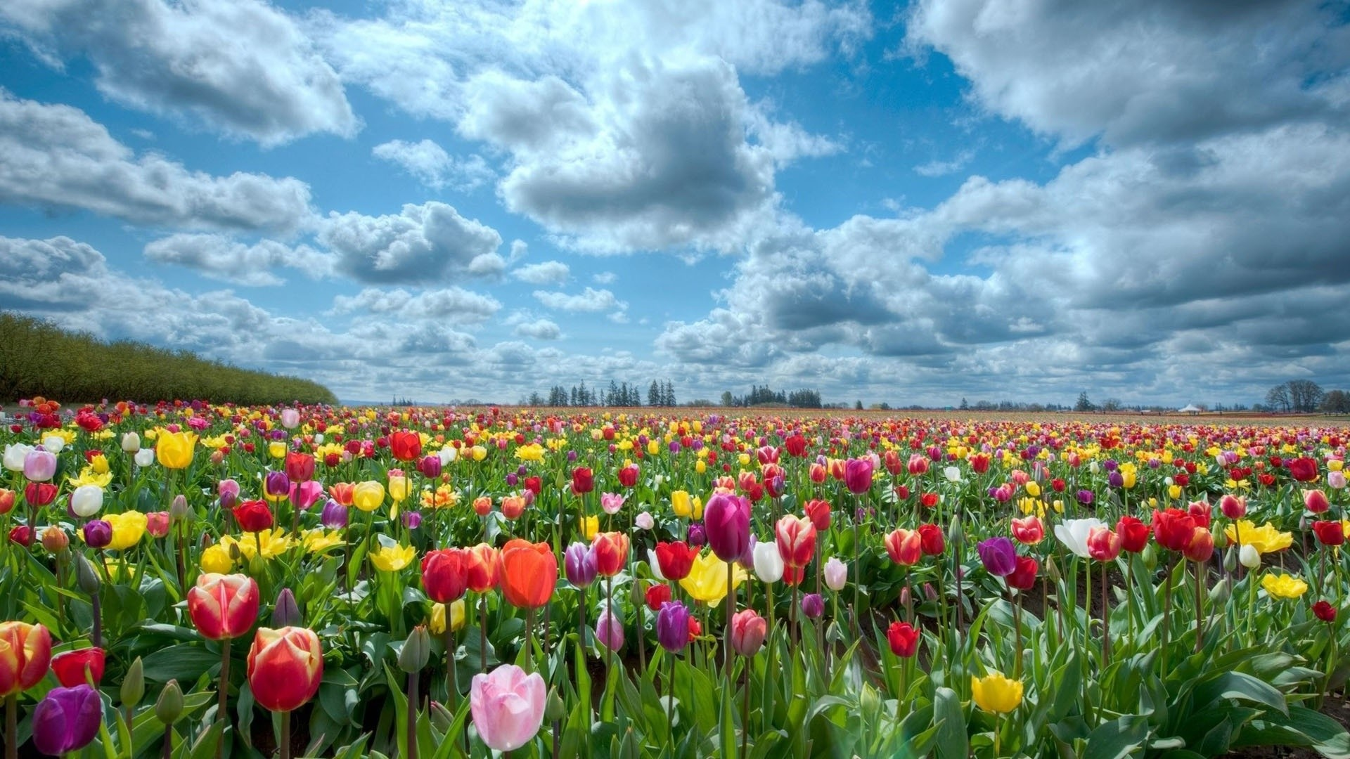 Field Of Flowers Wallpaper Hd-wallpapers-field-of-flowers