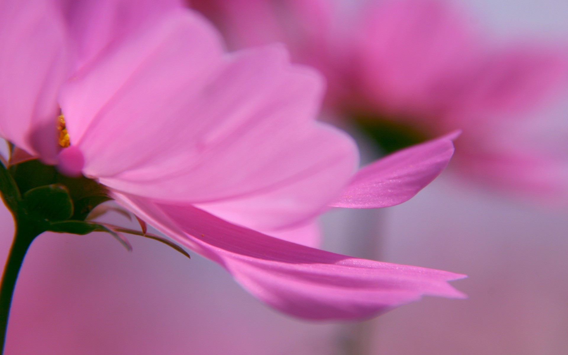 April 5, 2017 Pink Flowers | Resolution: 1920×1200, Dylan Sheldon