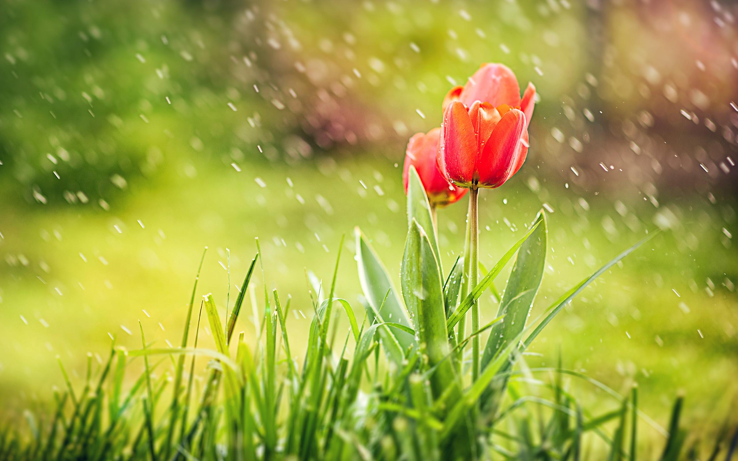 Red Tulip Flowers Wallpaper | red tulip flowers wallpaper 1080p, red tulip flowers  wallpaper desktop, red tulip flowers wallpaper hd, red tulip flo…