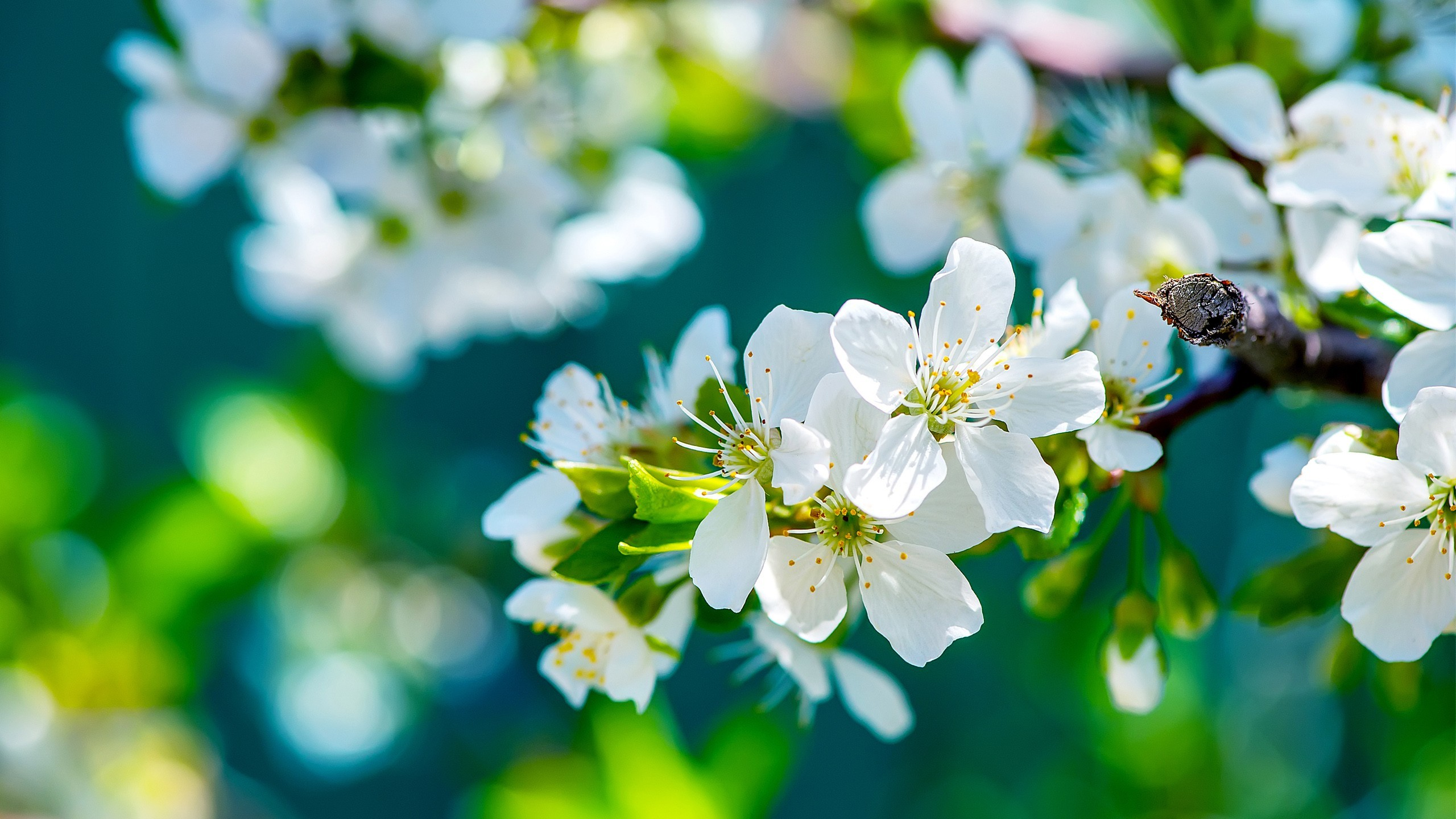 … x 1440 Original. Description: Download Apple Flowers Flowers wallpaper  …