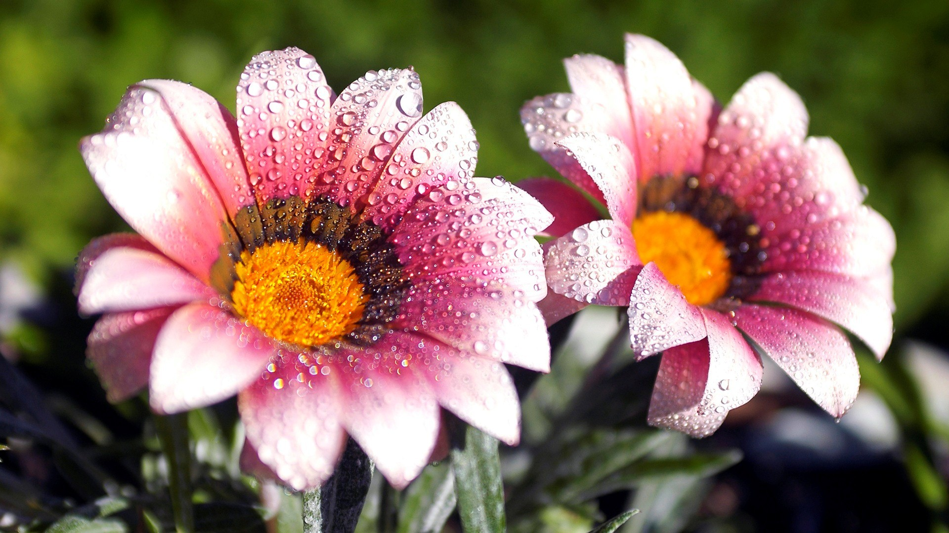 Beautiful Amazing Flower Water Drops HD Wallpaper Background