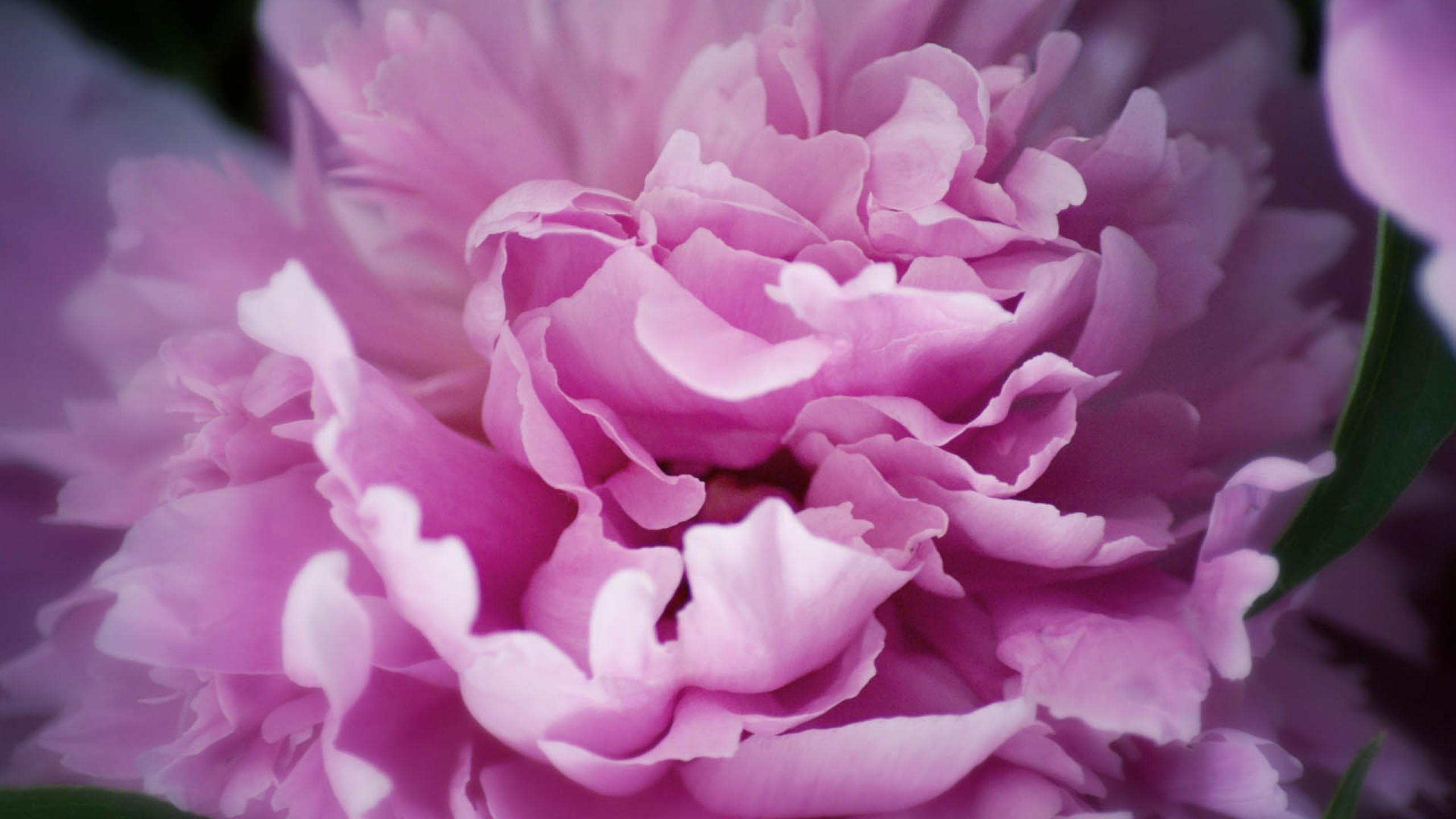 Preview wallpaper peony, flowers, plant 2560×1440