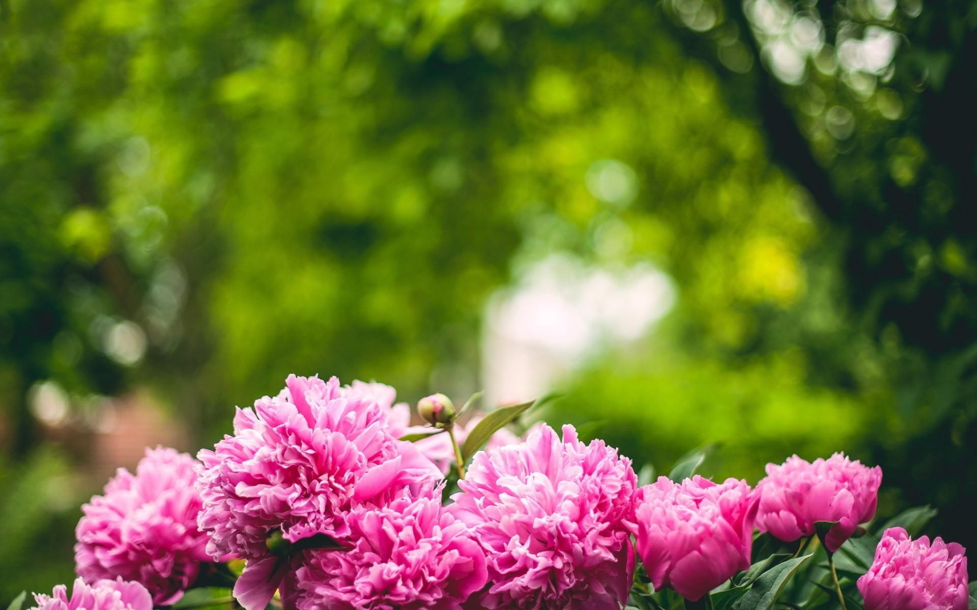 peonies flowers pink jar. Â«Â«