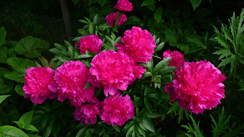 Photos Pink color Flowers Peonies 2560×1440
