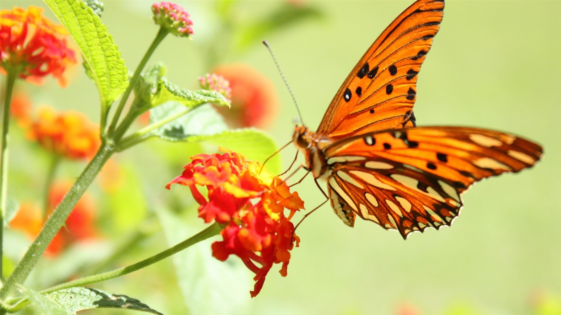 HD butterfly hd wallpapers 1080p For Your Image Wallpapers with .
