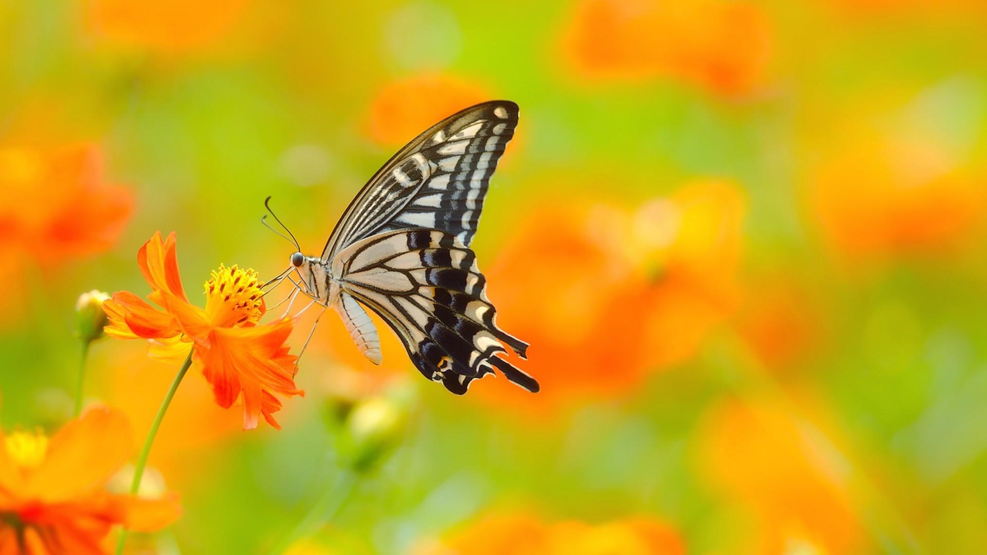 Ultra HD Wallpaper, flower 4K | Butterfly on flower Ultra HD wallpaper |  UHD-