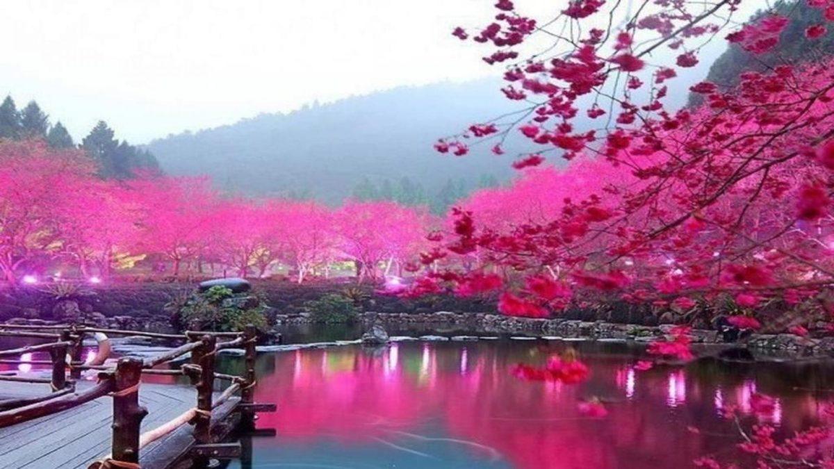 Japanese Cherry Blossom Garden Wallpaper Phone for HD Wallpaper Desktop  px 242.13 KB