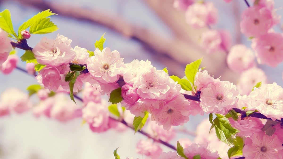 Japanese Cherry Blossom desktop PC and Mac wallpaper