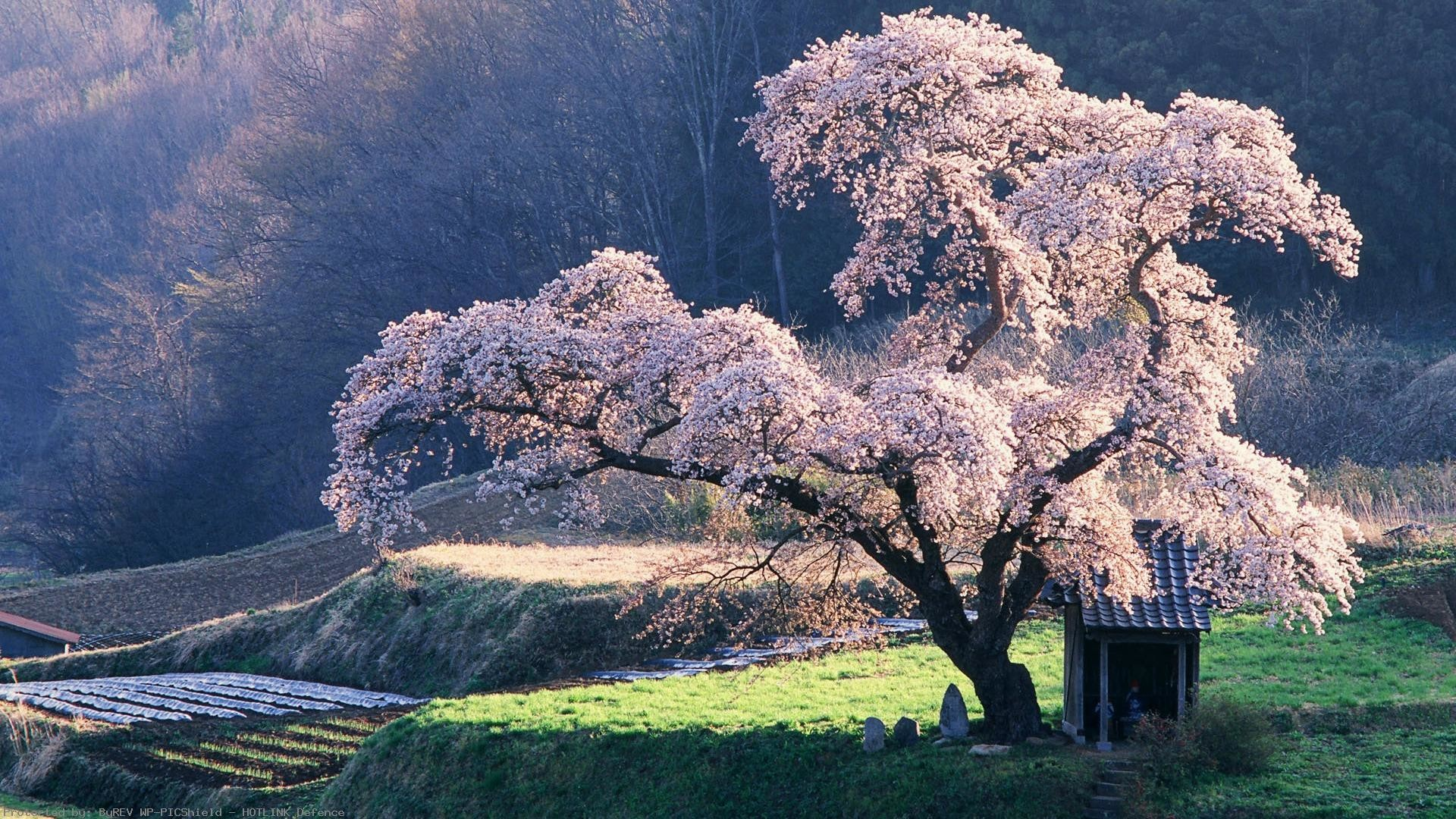 Cherry-blossom-Tree-in-Misty-Morning-Japanese-Blossoming-
