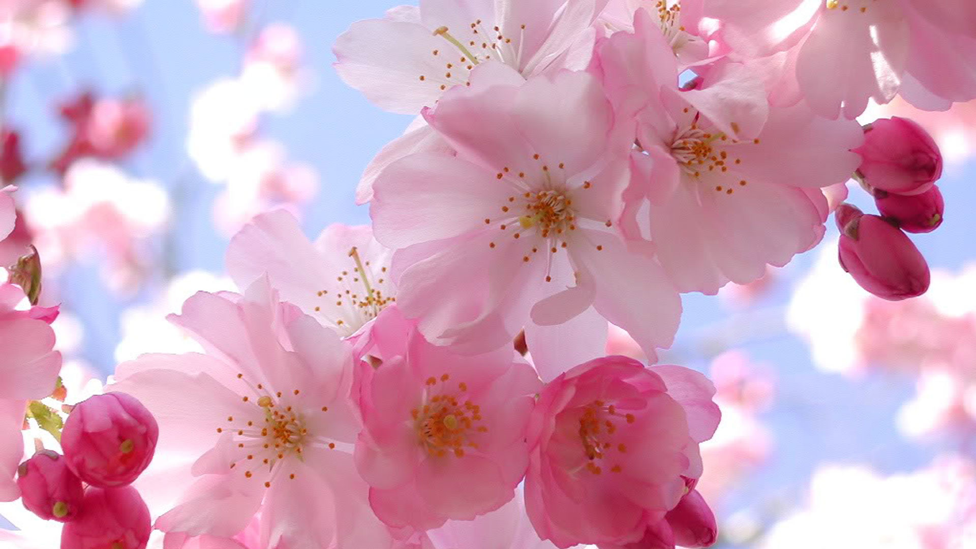 Pink Cherry Blossom Wallpaper for iPhone Wallpaper with .