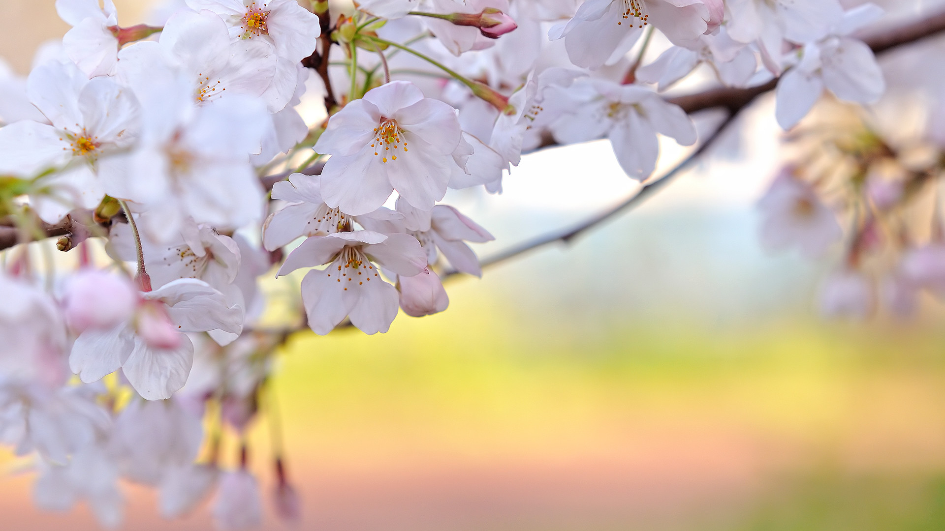 Sakura flower wallpaper images all free download
