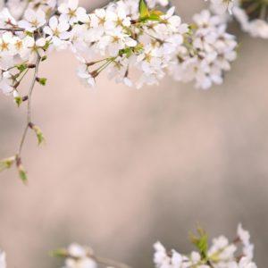 Japanese Cherry Blossom Wallpaper 1920×1080