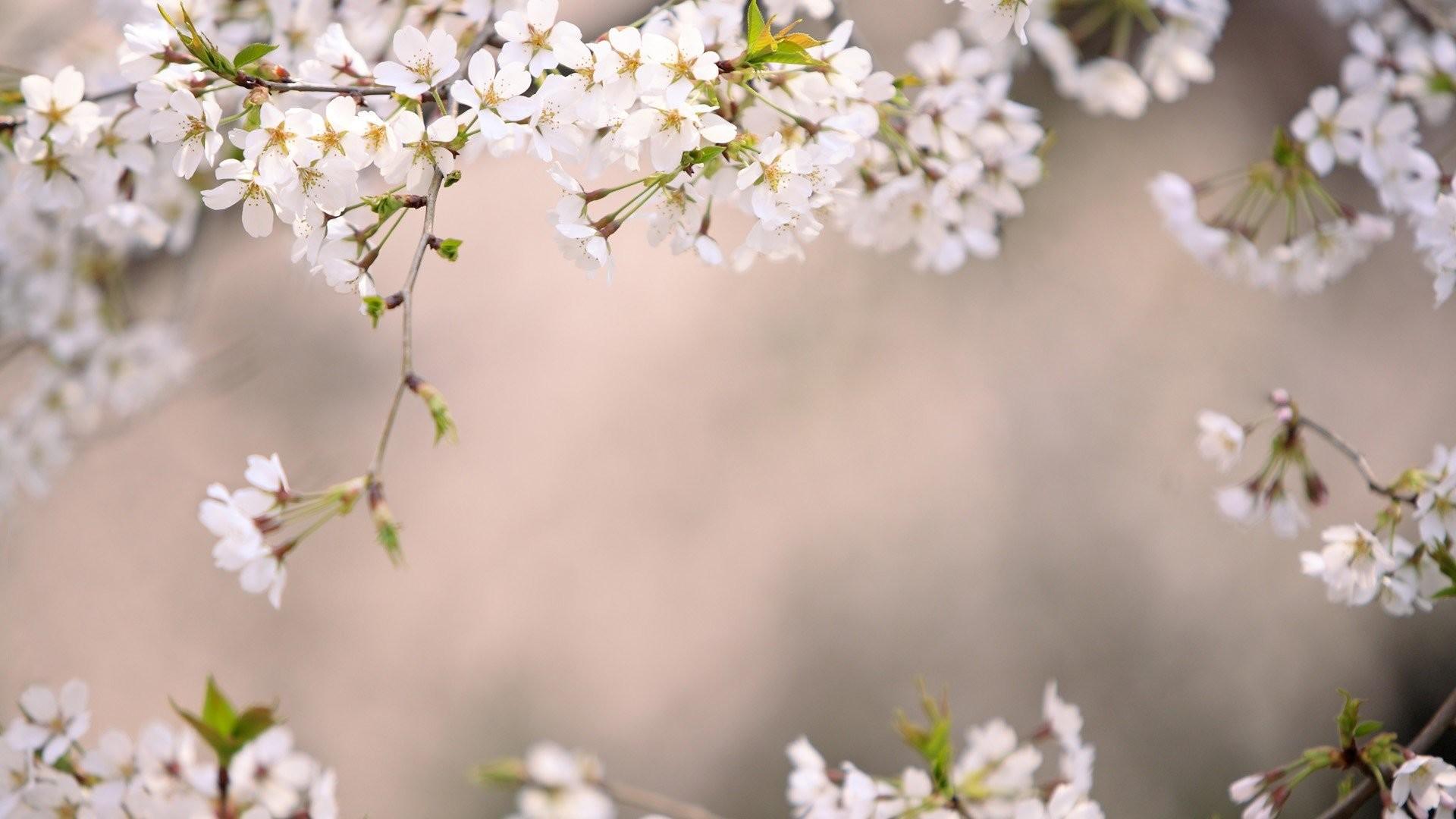 Japan cherry blossoms Tokyo wallpaper | | 324133 | WallpaperUP
