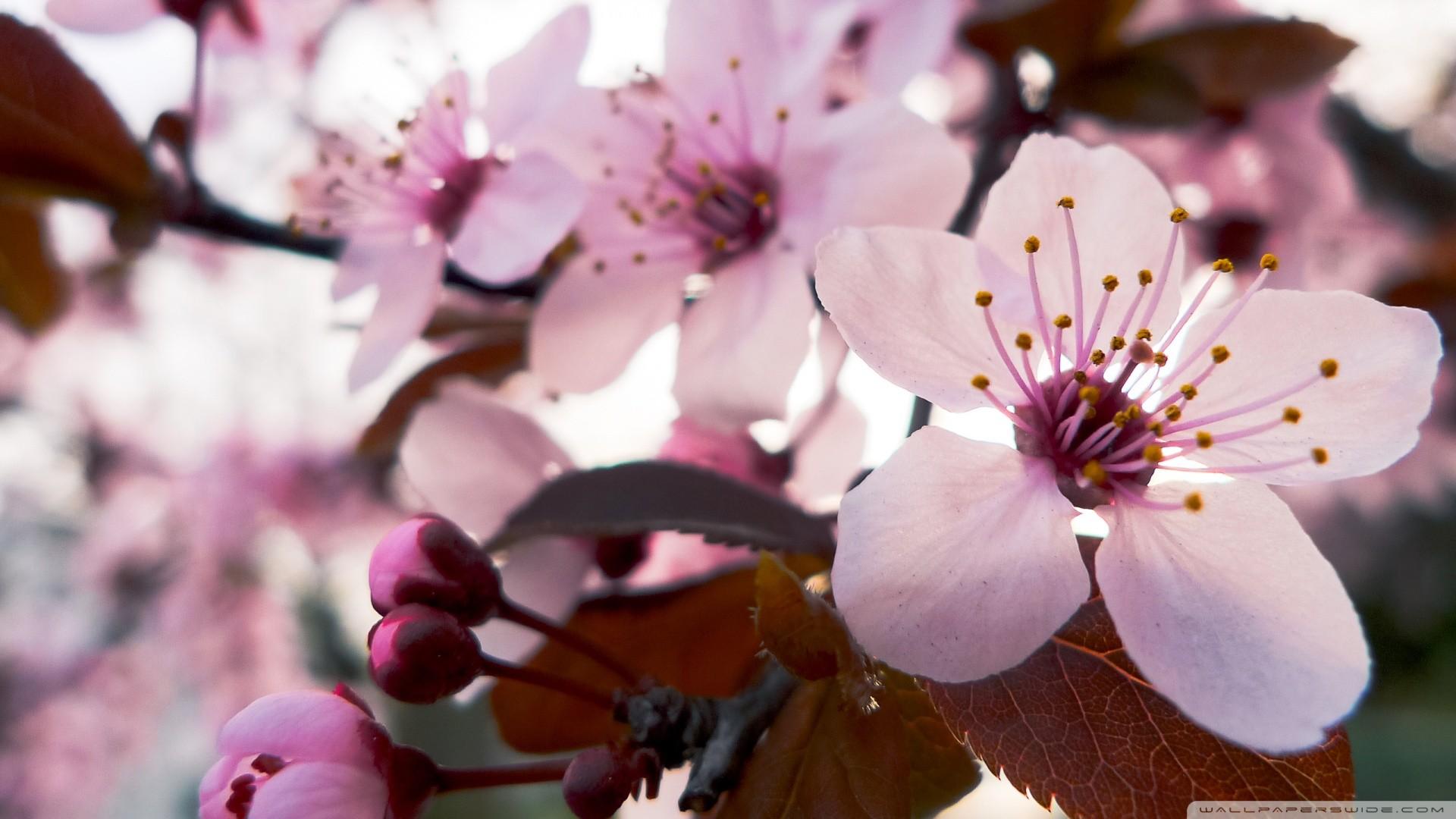Delicate Cherry Blossom Wallpaper Delicate, Cherry, Blossom