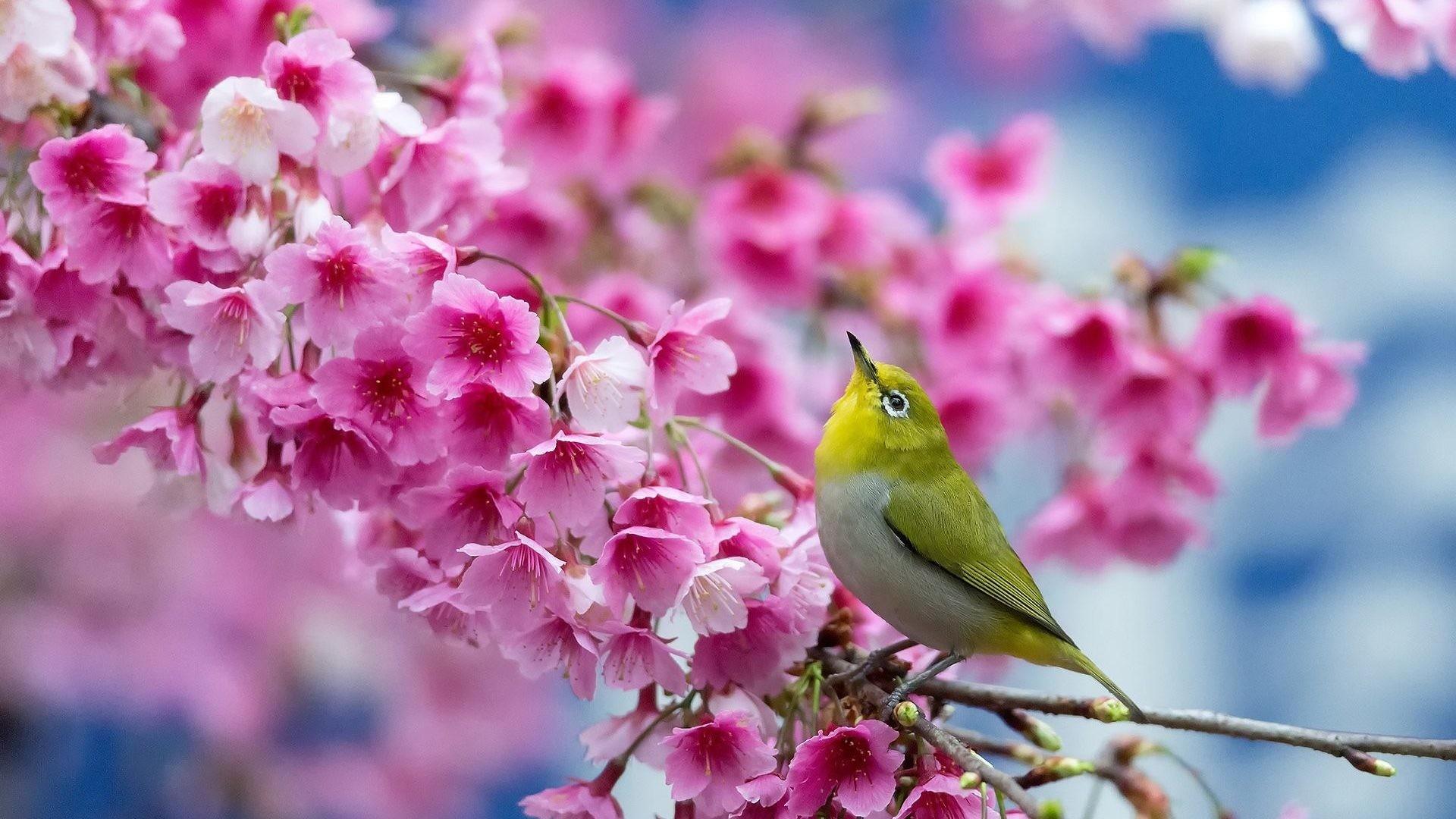 #224477 Color – Bird Flowers Flower Cherry Beauty Blossom Spring Branch Japanese  Wallpaper Photo Nature