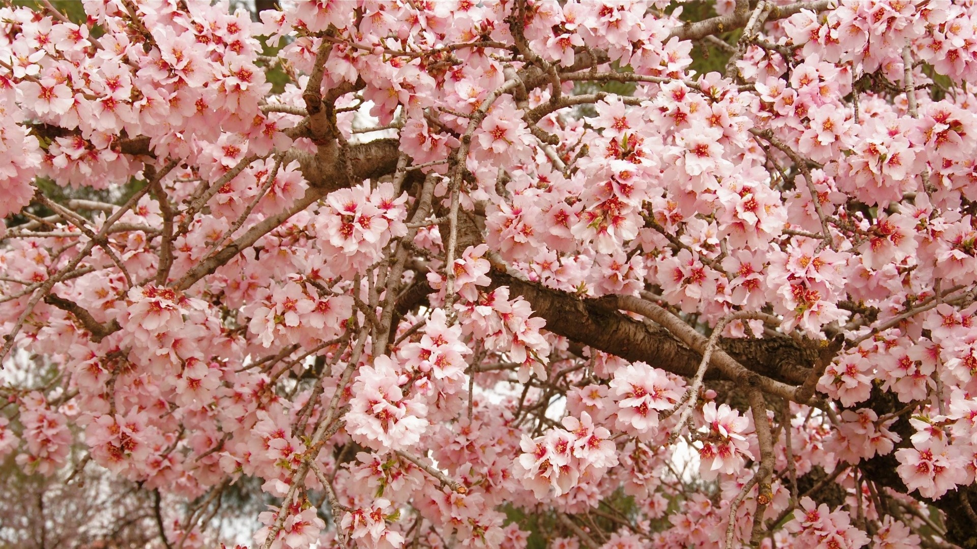 Wallpaper cherry, blossom, pink, twigs, spring