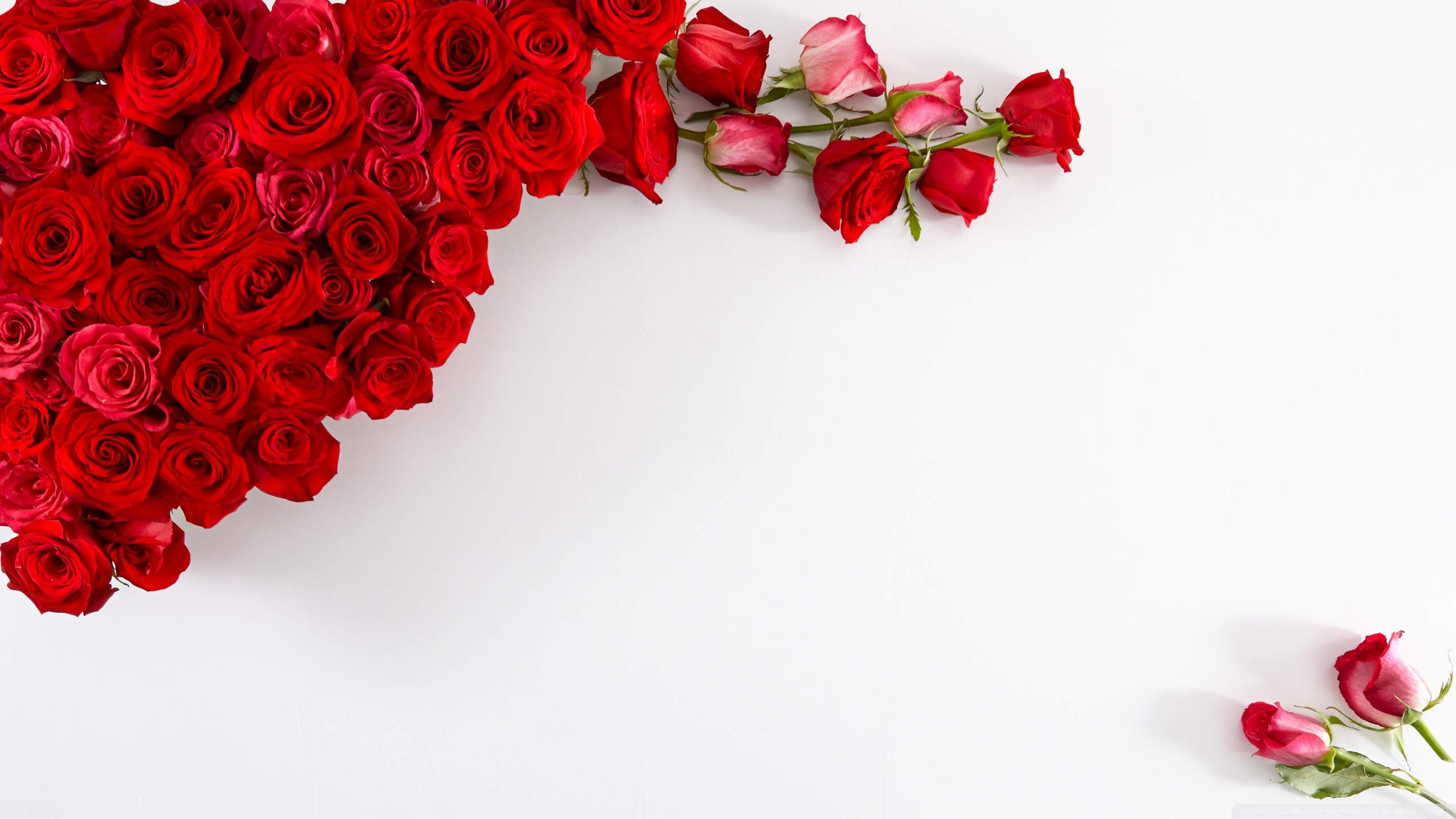 Red Roses on White Background HD desktop wallpaper : Widescreen