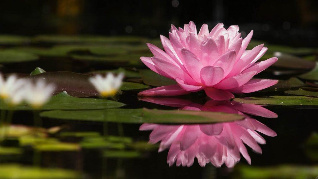 Preview wallpaper lotus, flower, water lilies, swamp 1920×1080