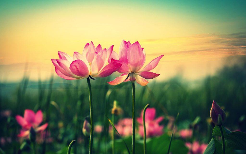 Lotus Flower Wallpaper Wide