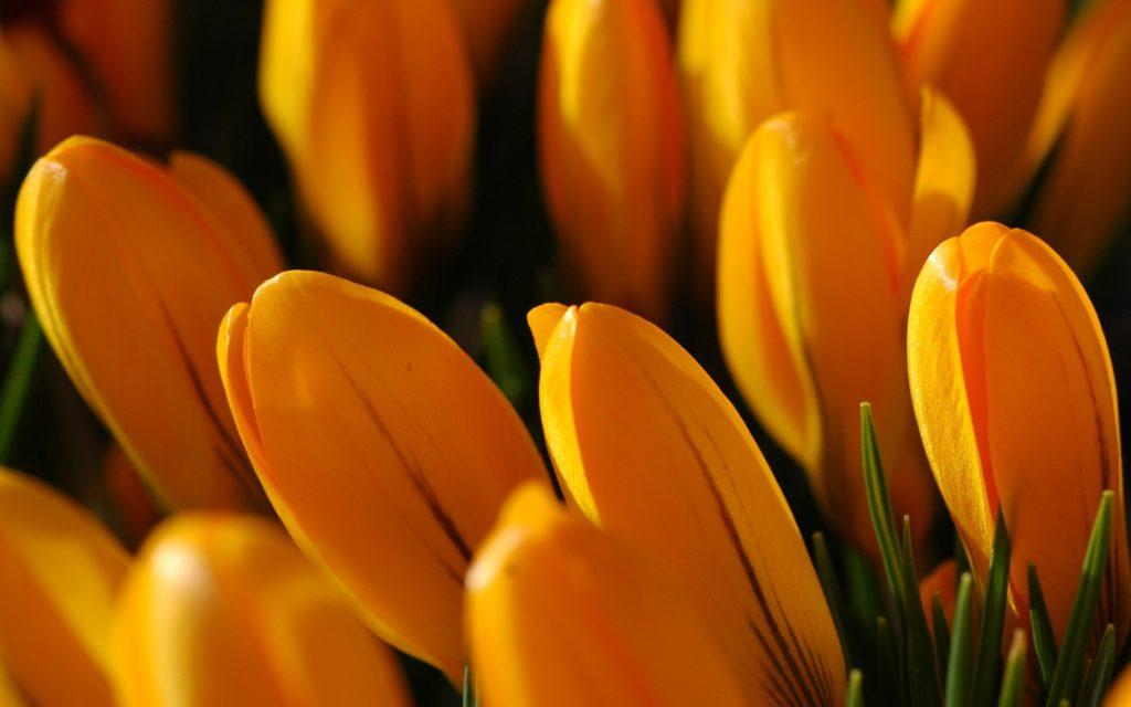 Golden tulips Wallpaper Flowers Nature