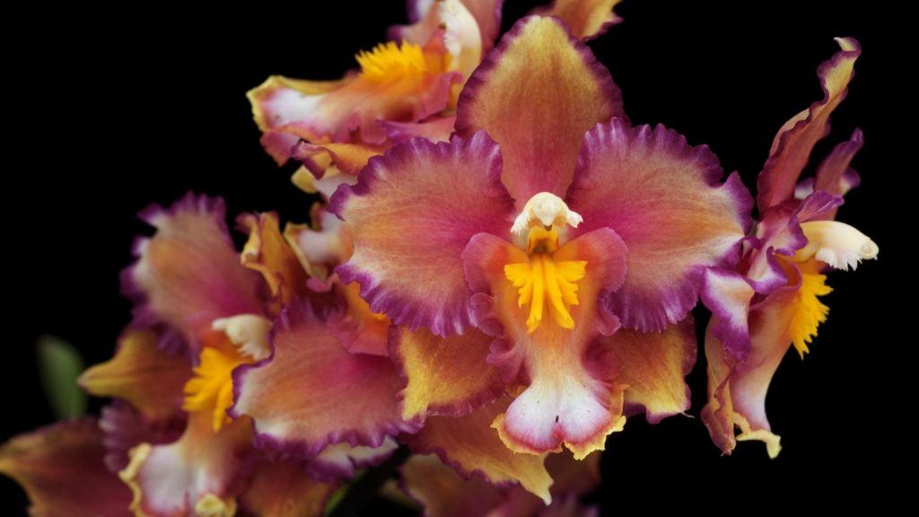 Preview wallpaper orchids, flowers, branches, close up, black background  1920×1080
