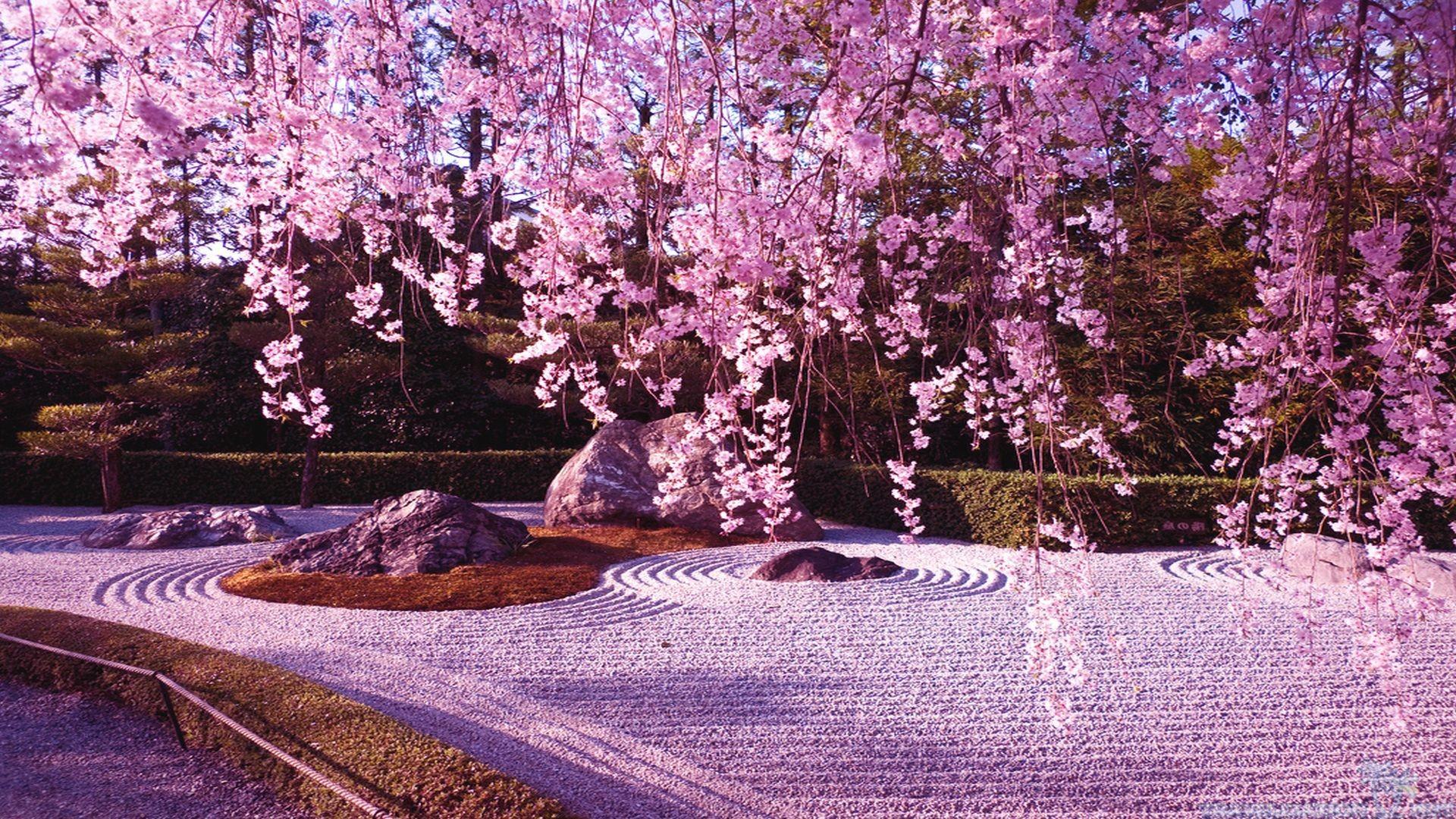 beautiful cherry blossom wallpaper 10786