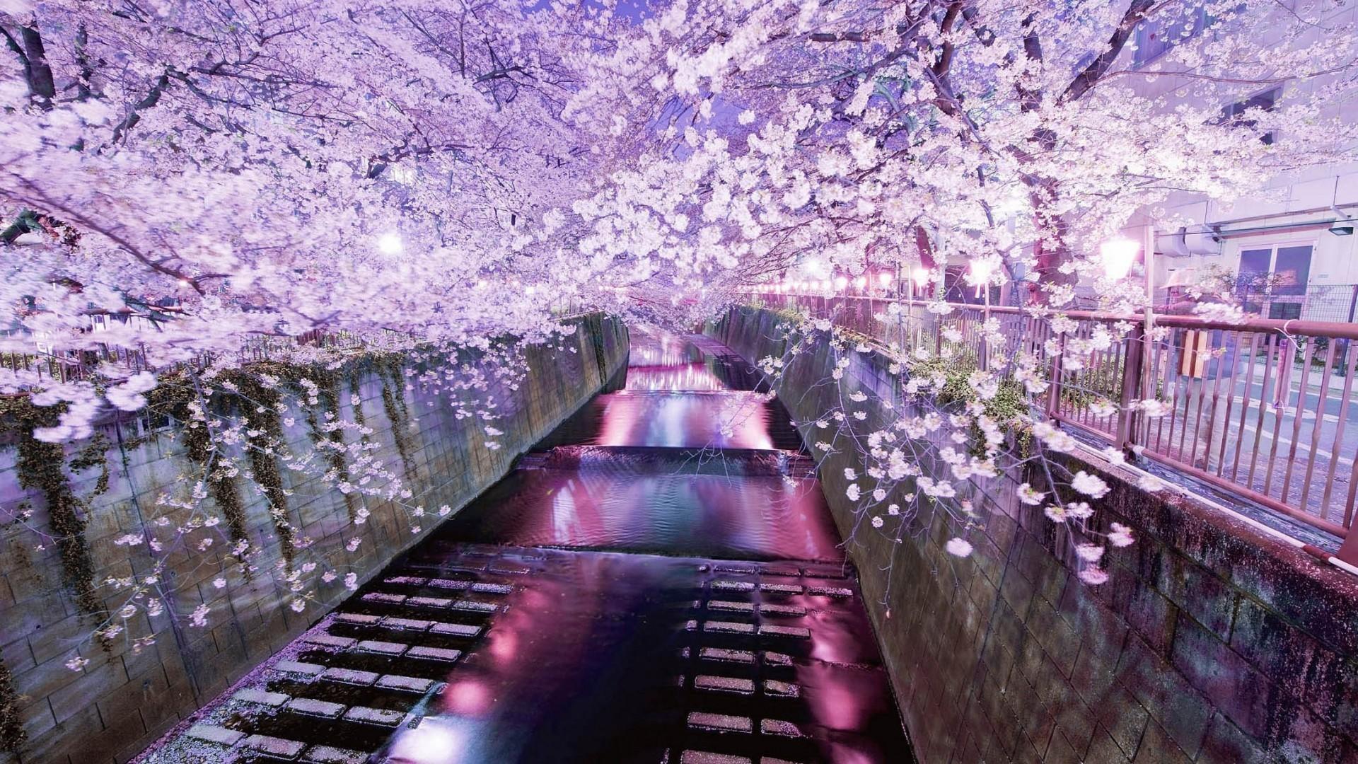 Japanese Cherry Blossom 26 HD Wallpaper