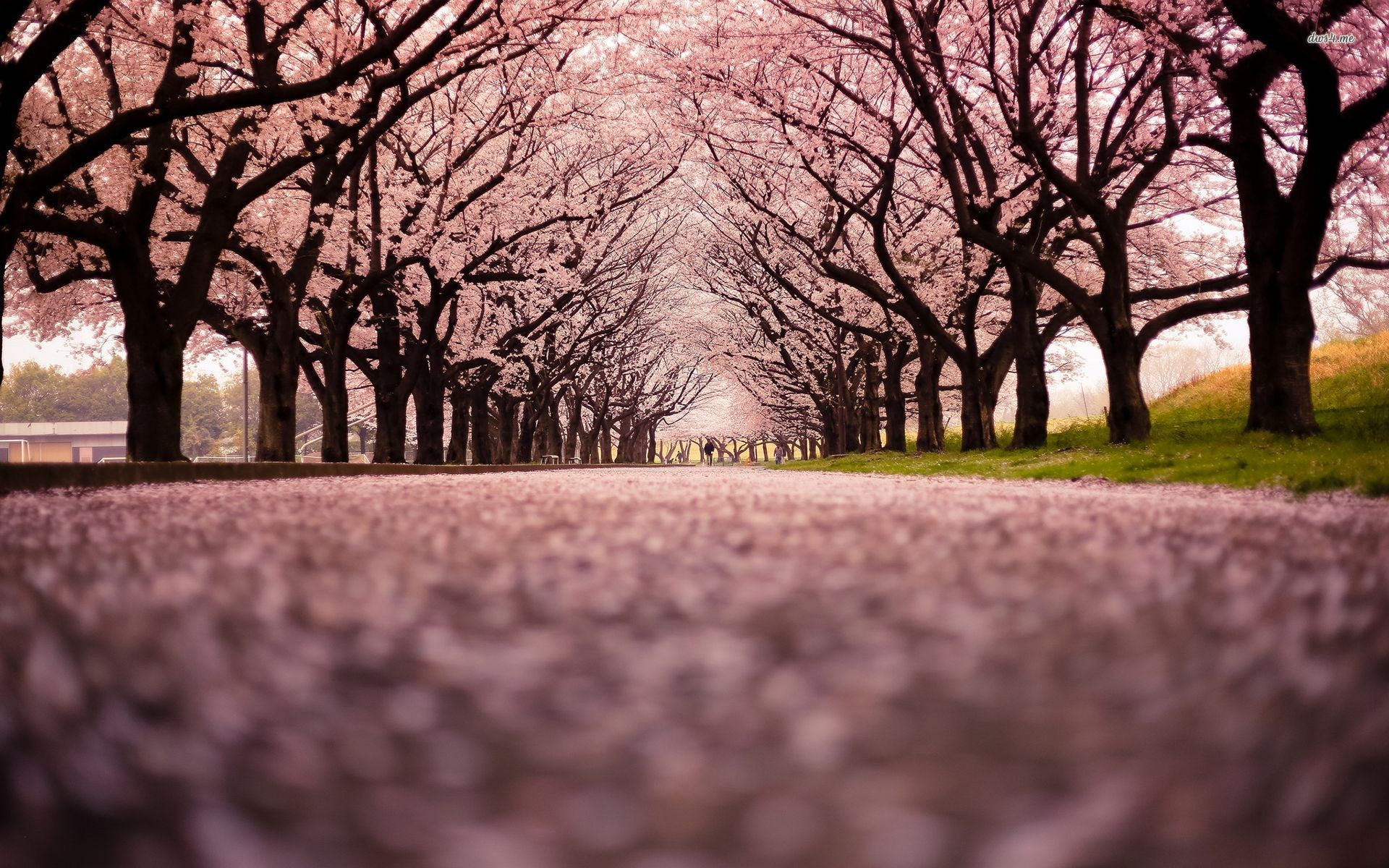 Cherry+Blossoms+in+Japan | Cherry Blossom- Fuji Mountain, Japan