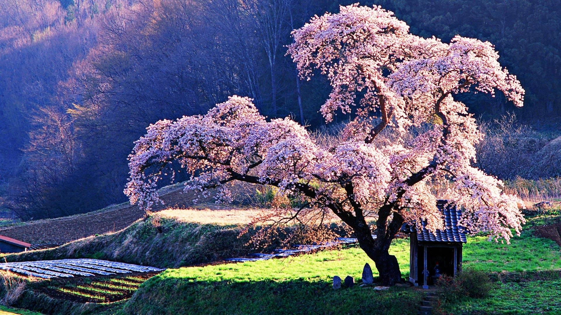 Several photos of the flowers and petals in focus, the entire trees in  beautiful backdrops of lakes, hills and paths around Japan to make up this  whitish …